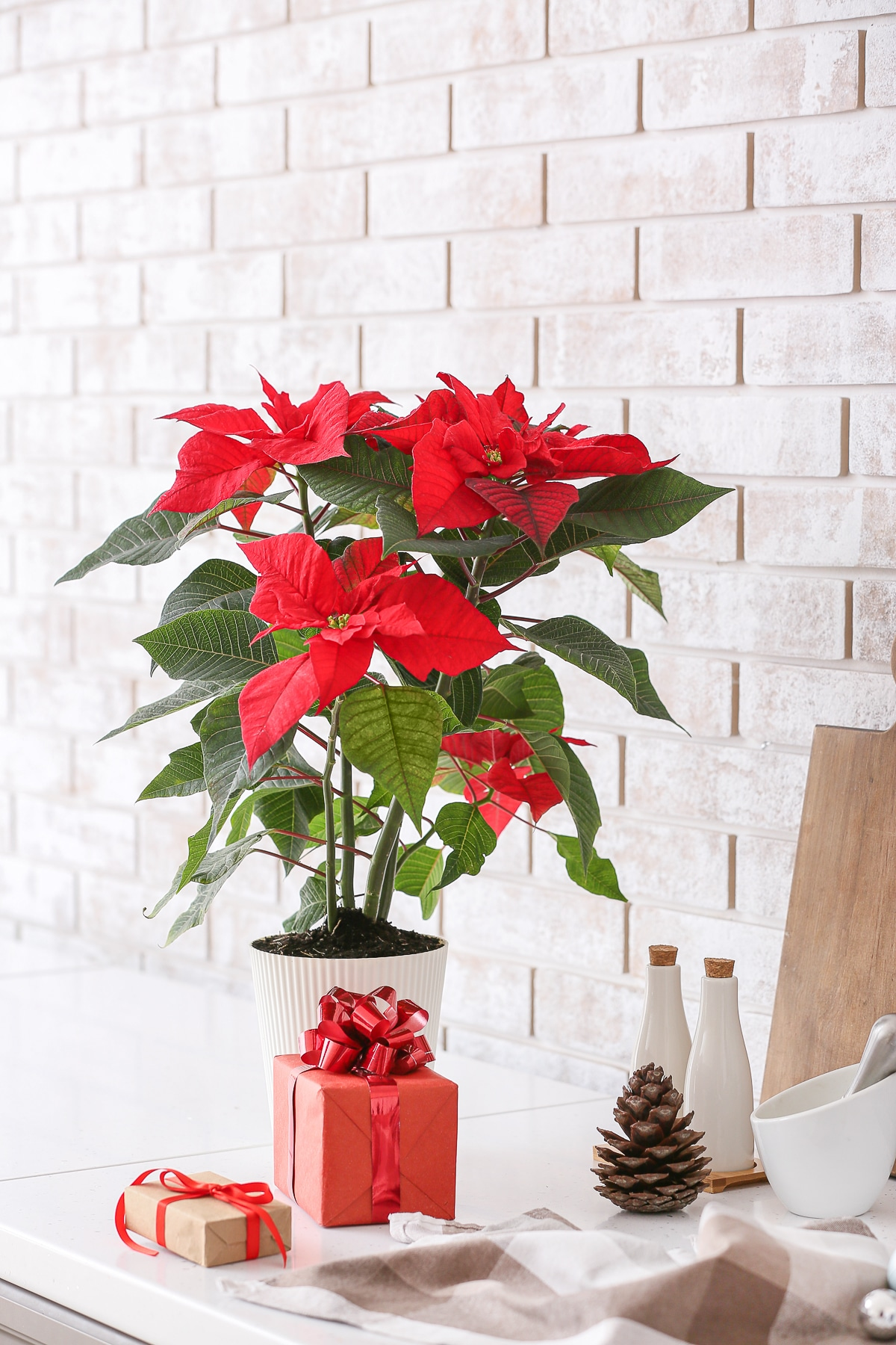 Bright red Christmas plant poinsettia on kitchen table against a white brick wall.