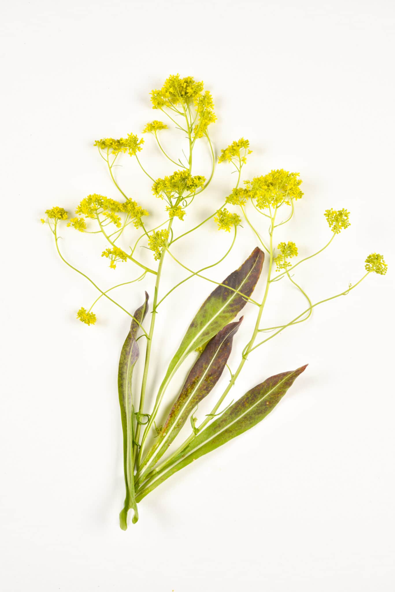 A woad sprig with yellow flowers in bloom.