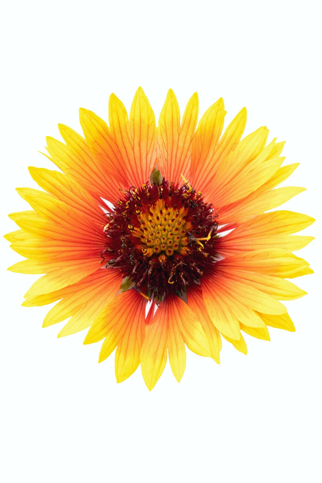 Nahaufnahme einer Färber-Coreopsis-Blume.