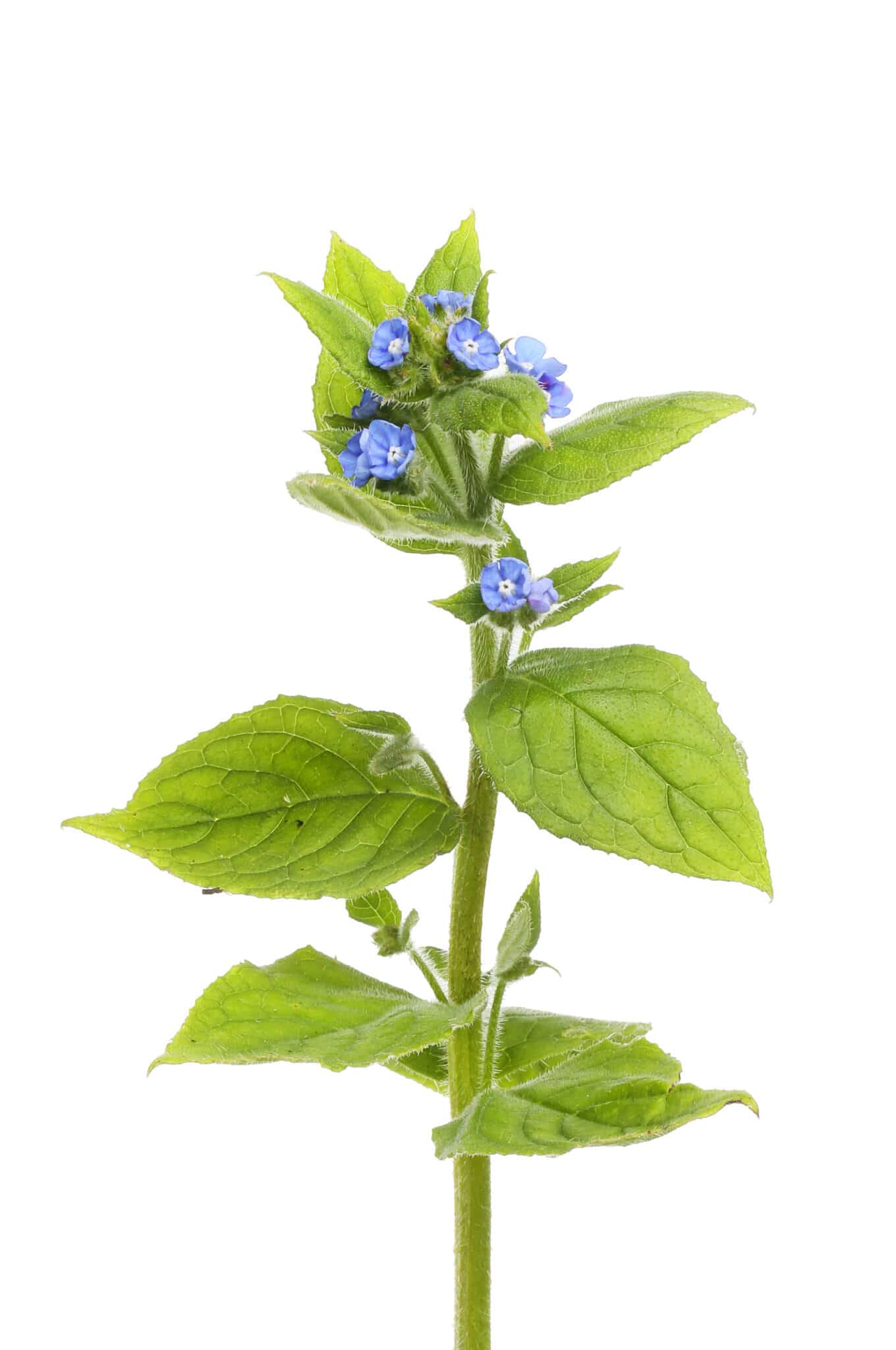 An alkanet sprig on a white background.