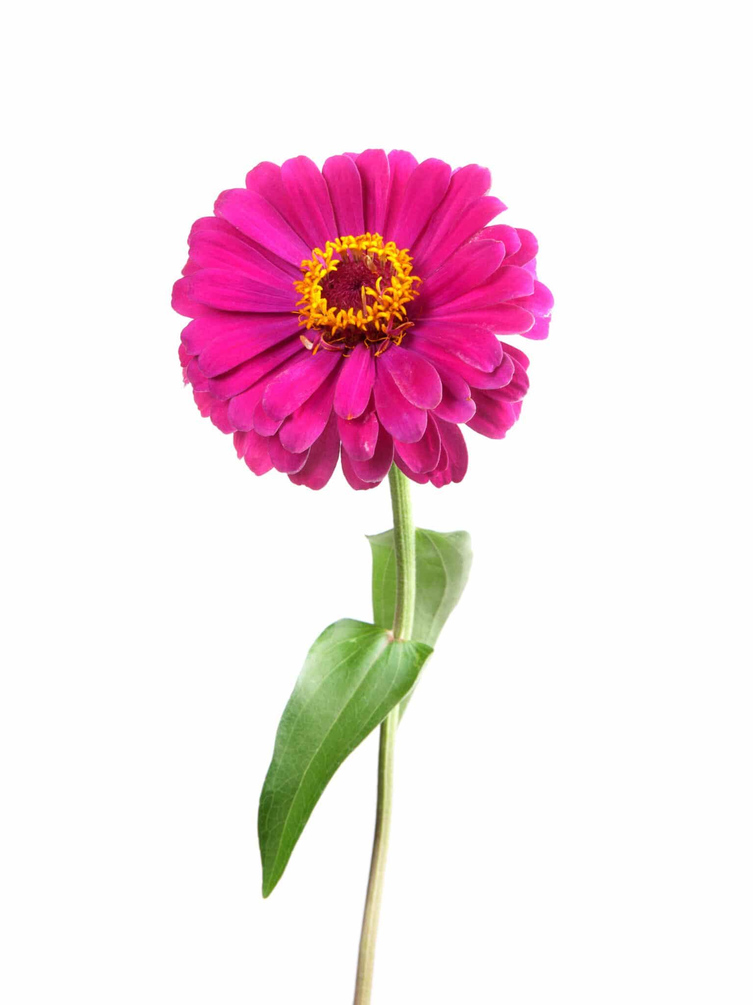 A pink zinnea flower on the stem.