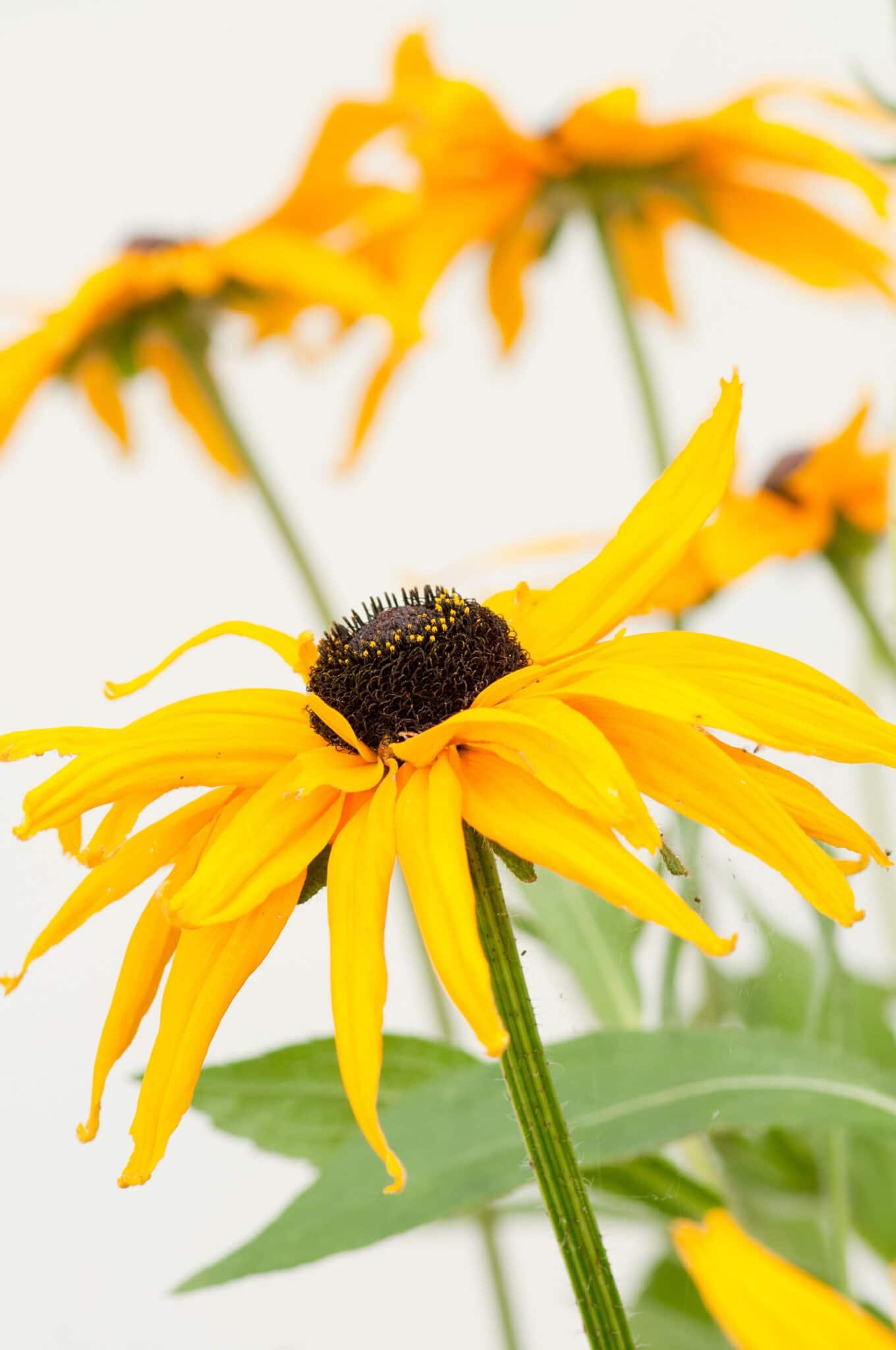Closeup of a black eyed Susan flower in bloom