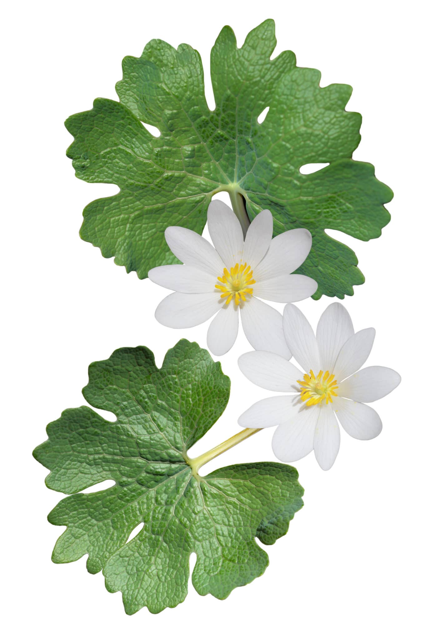 Bloodroot blooms and leaves on a white background.