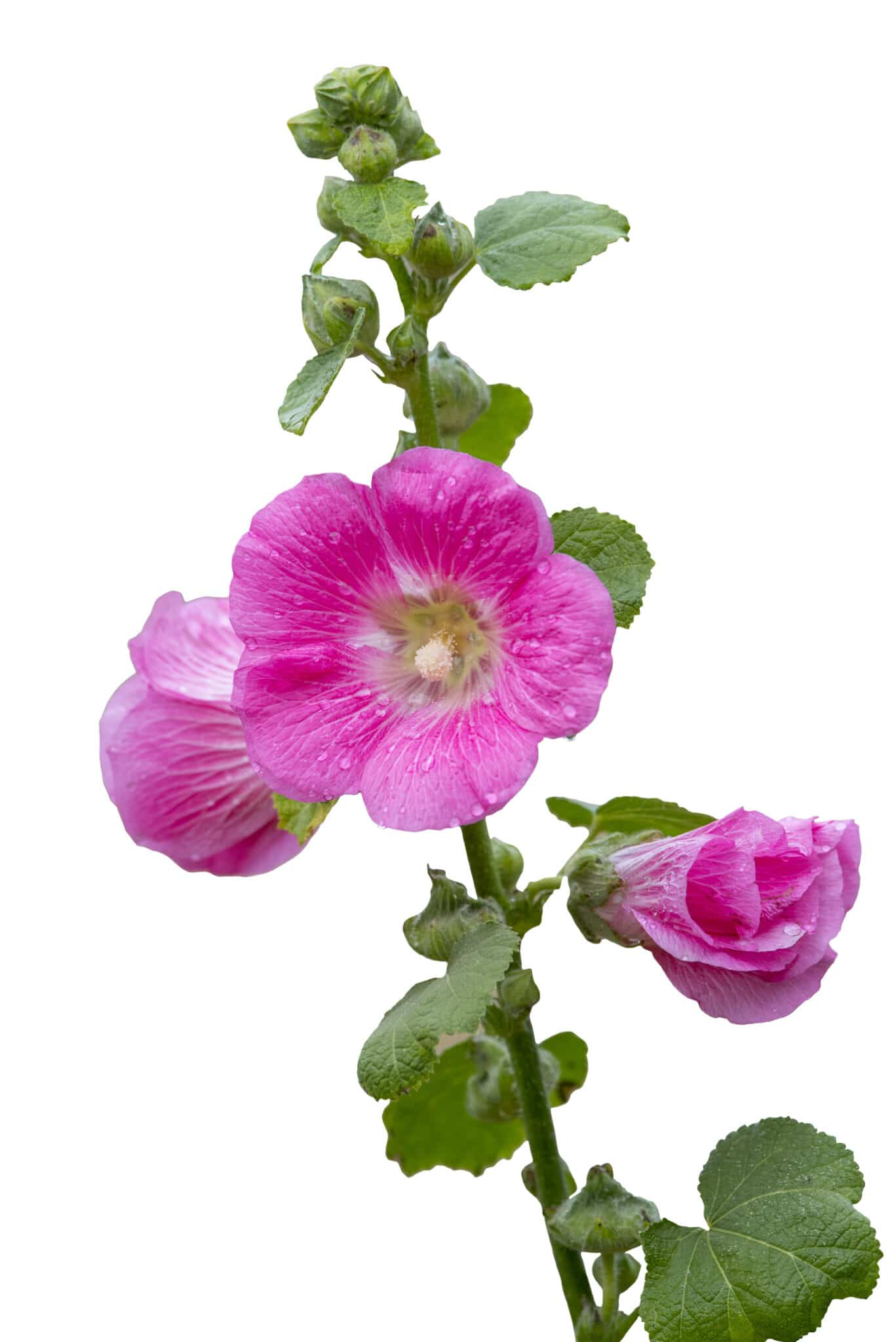 A Hollyhock stem with pink flowers in bloom.