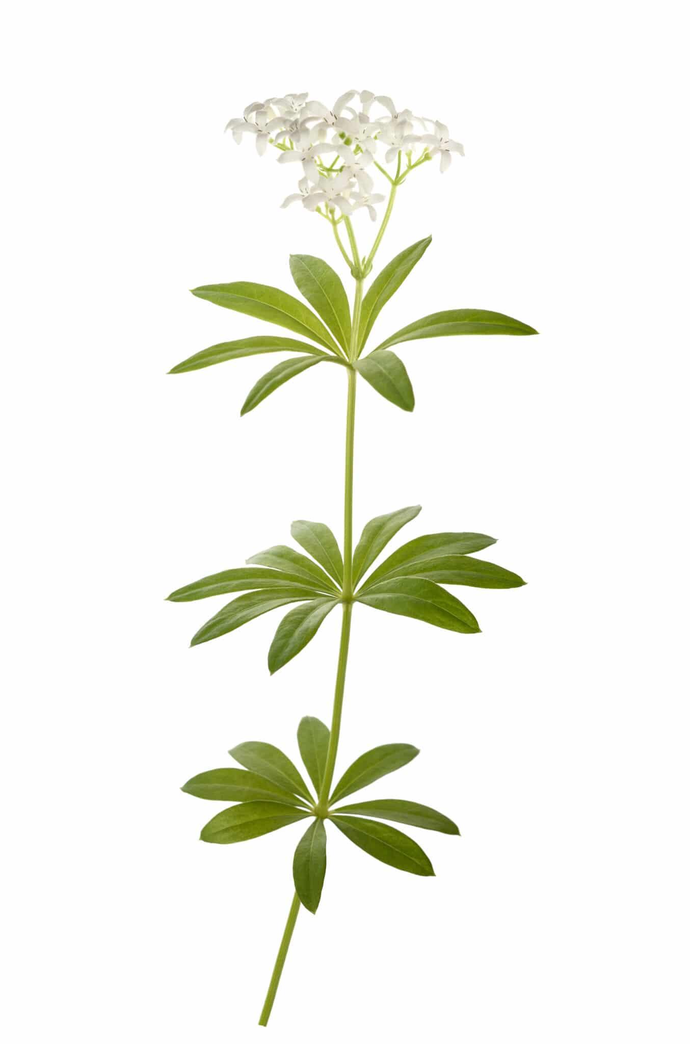 Ein Zweig von Dyers Waldmeister mit weißen Blüten in voller Blüte.