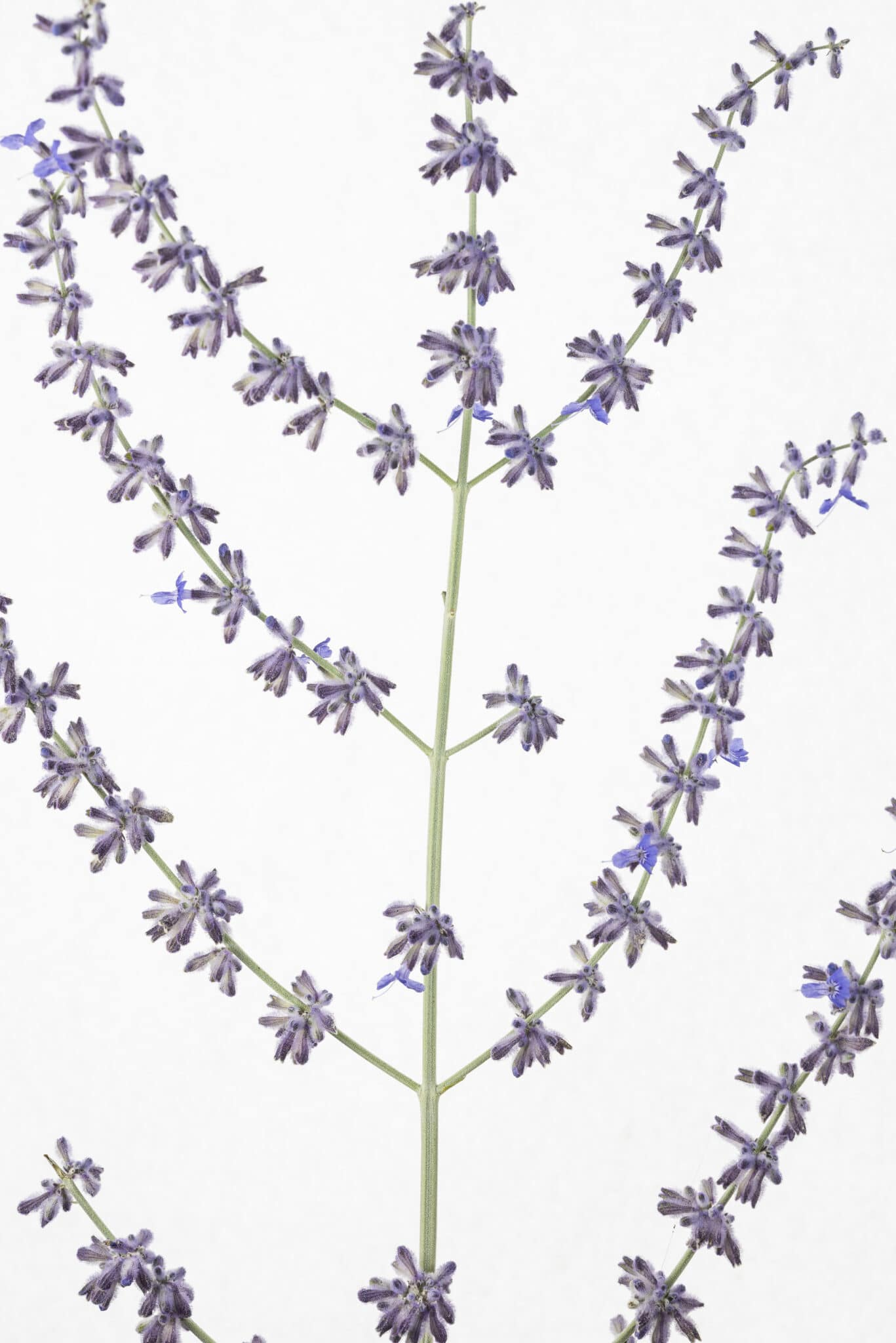Russian sage on a white background.