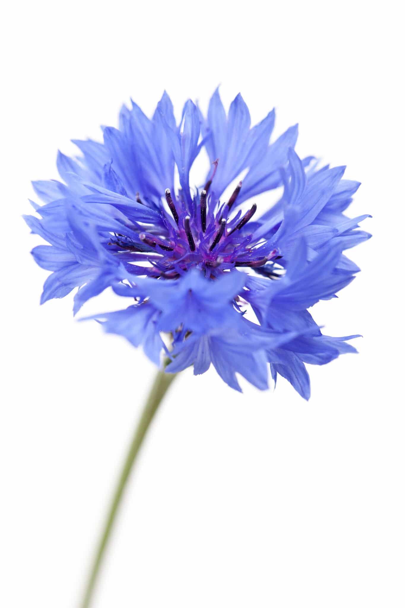 A bright blue bachelor's button flower.