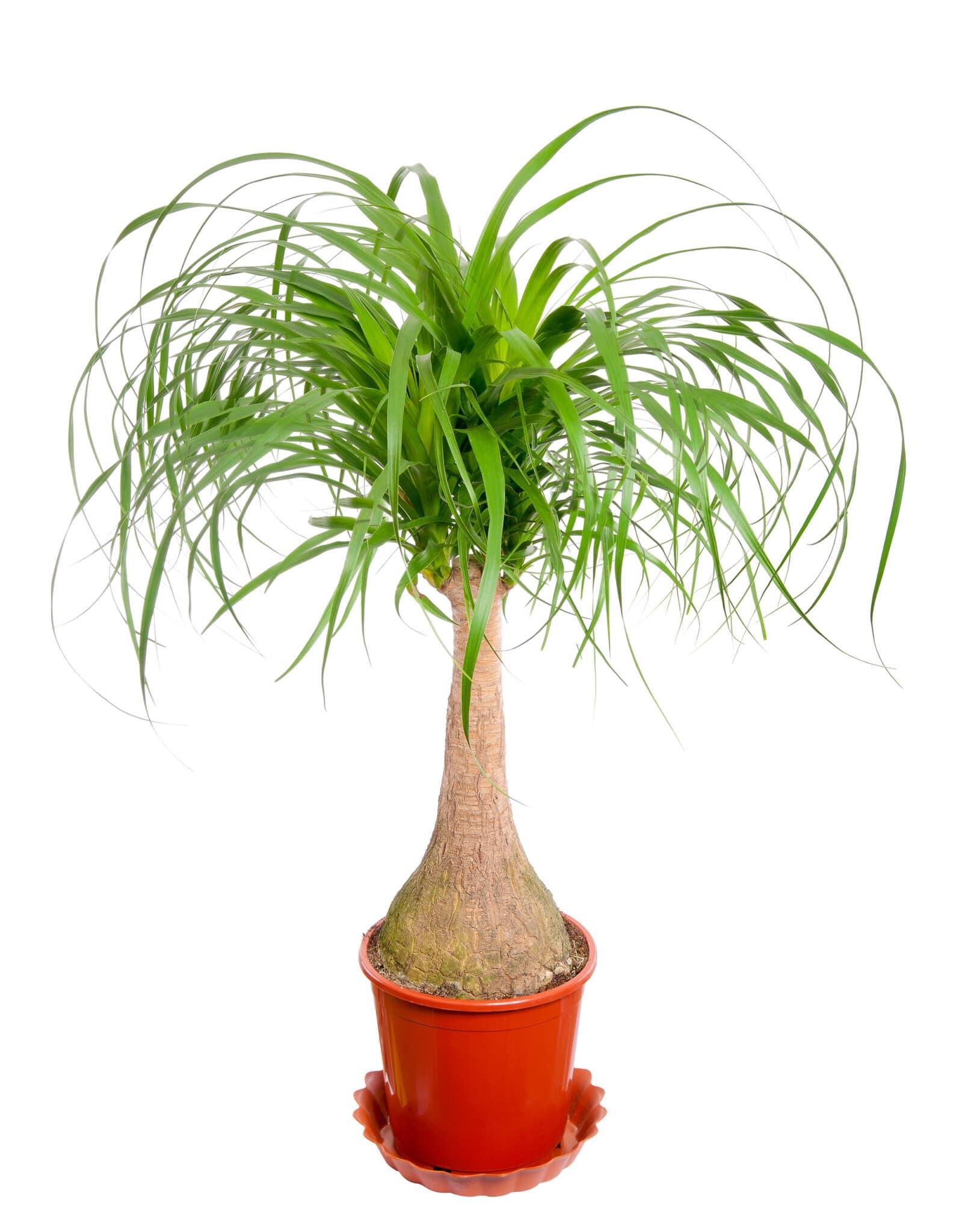 Pony tail palm in a pot.