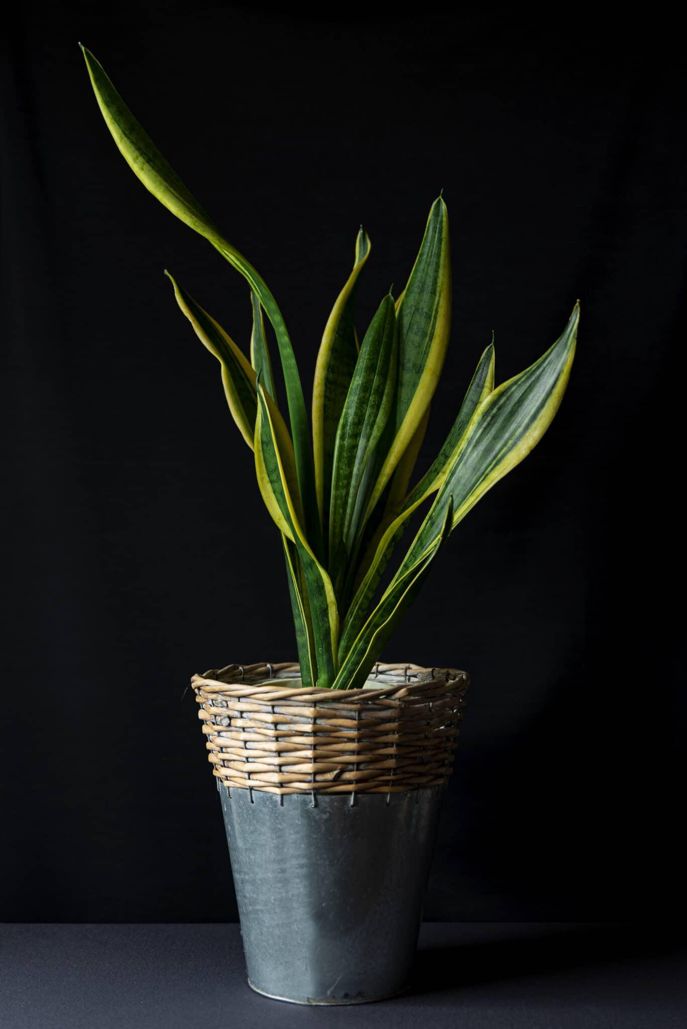 A dimly-lit snake plant.