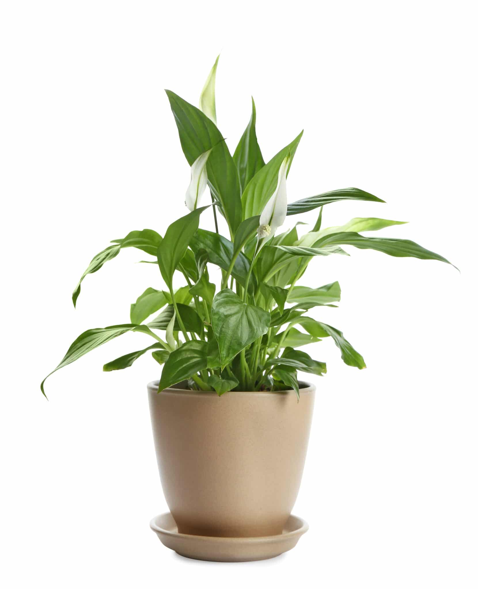 A peace lily in a pot with slender white blooms.