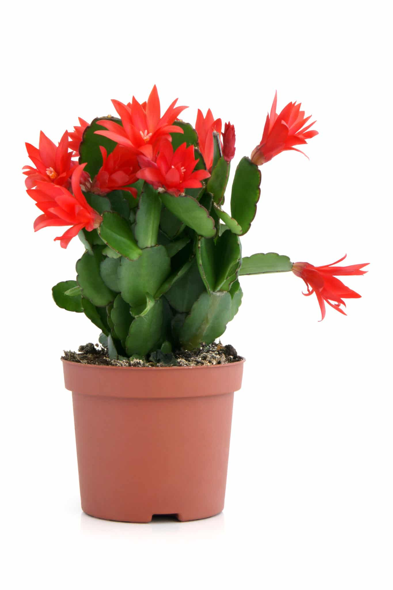 A Christmas cactus with bright red blooms.