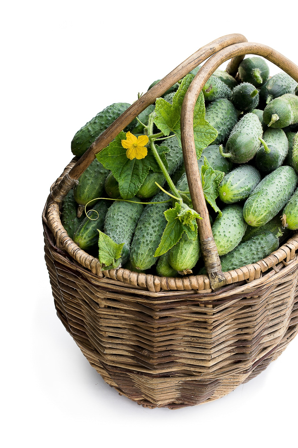 Freshly harvested cucumbers in a basket.