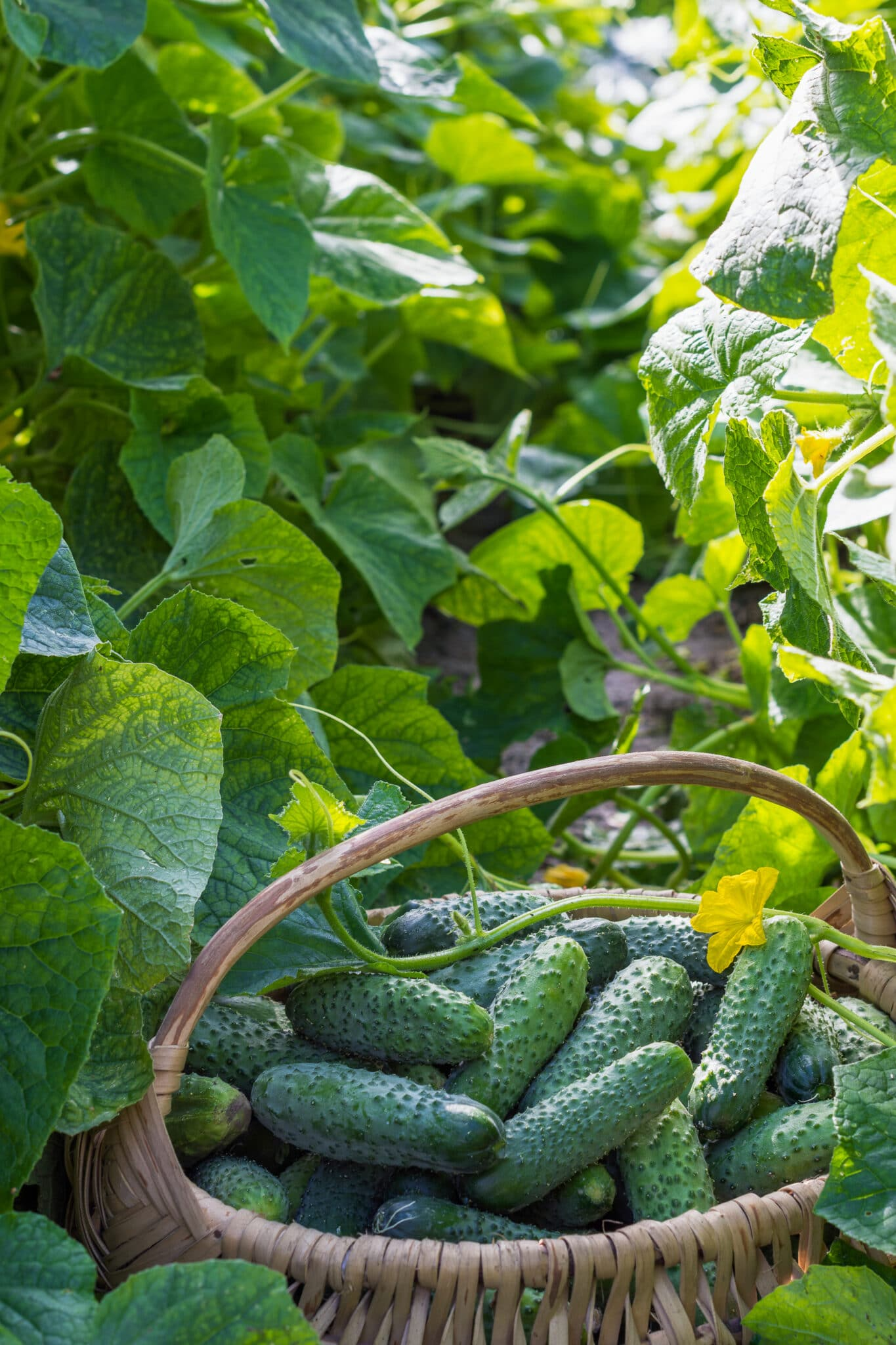 A basket full of extra cucumbers amidst cucumber vines in the garden.