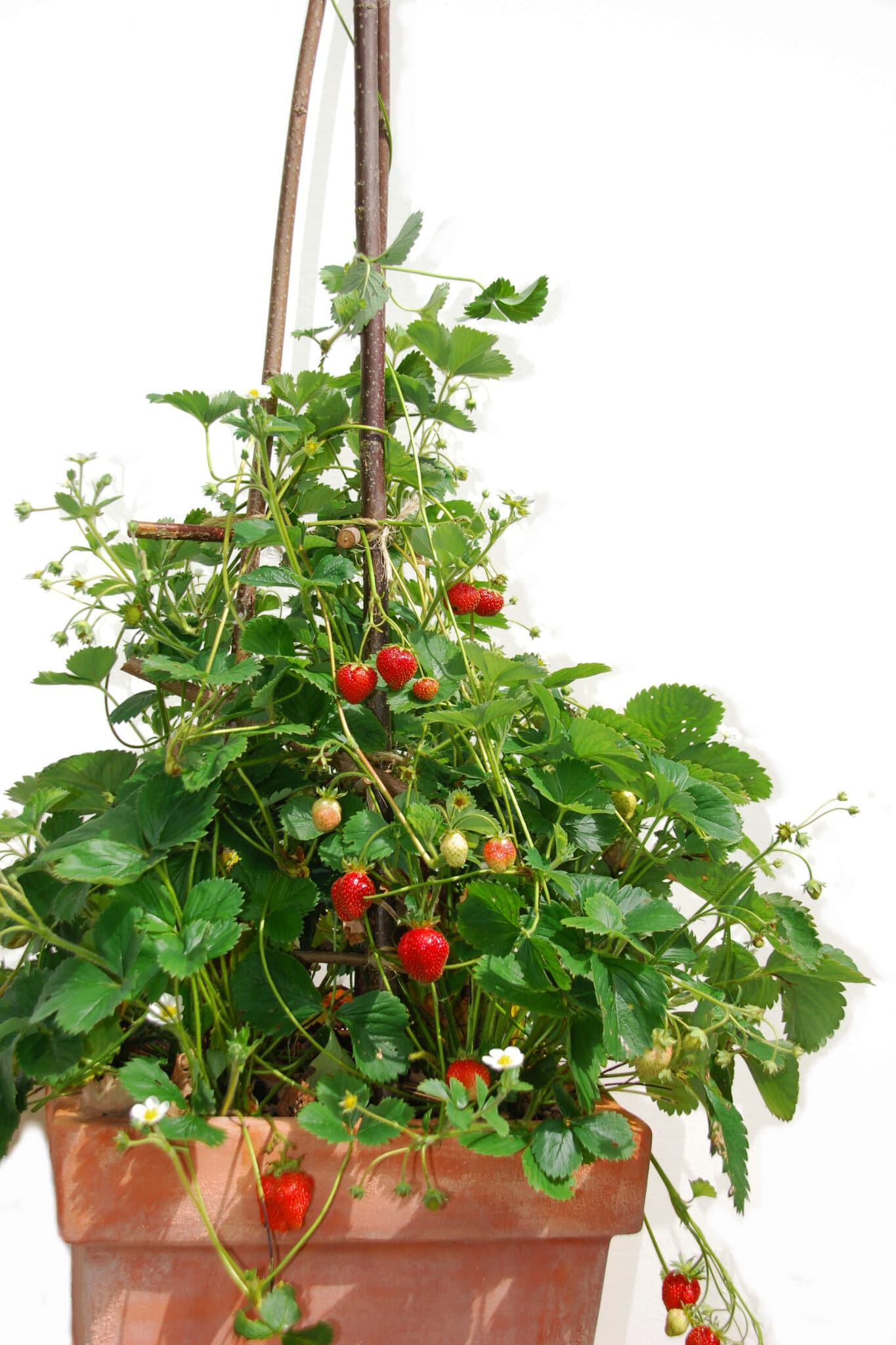 A large terracotta  planter with strawberry plants filled with ripe and unripe berries.