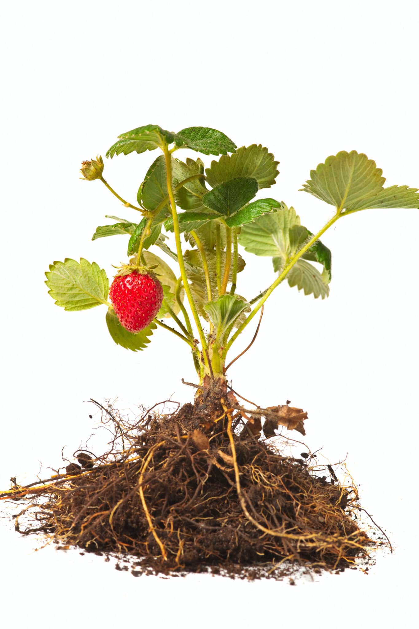 A strawberry plant with roots ready for planting.  The plant has one ripe strawberry.  The iimage is set against a bright white background.