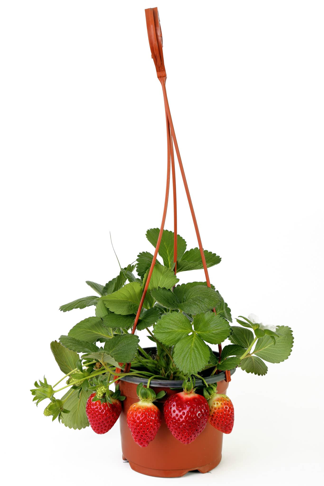 A small hanging basket filled with healthy green strawberry plants.  Fresh ripe strawberries are hanging over the side of the planter.