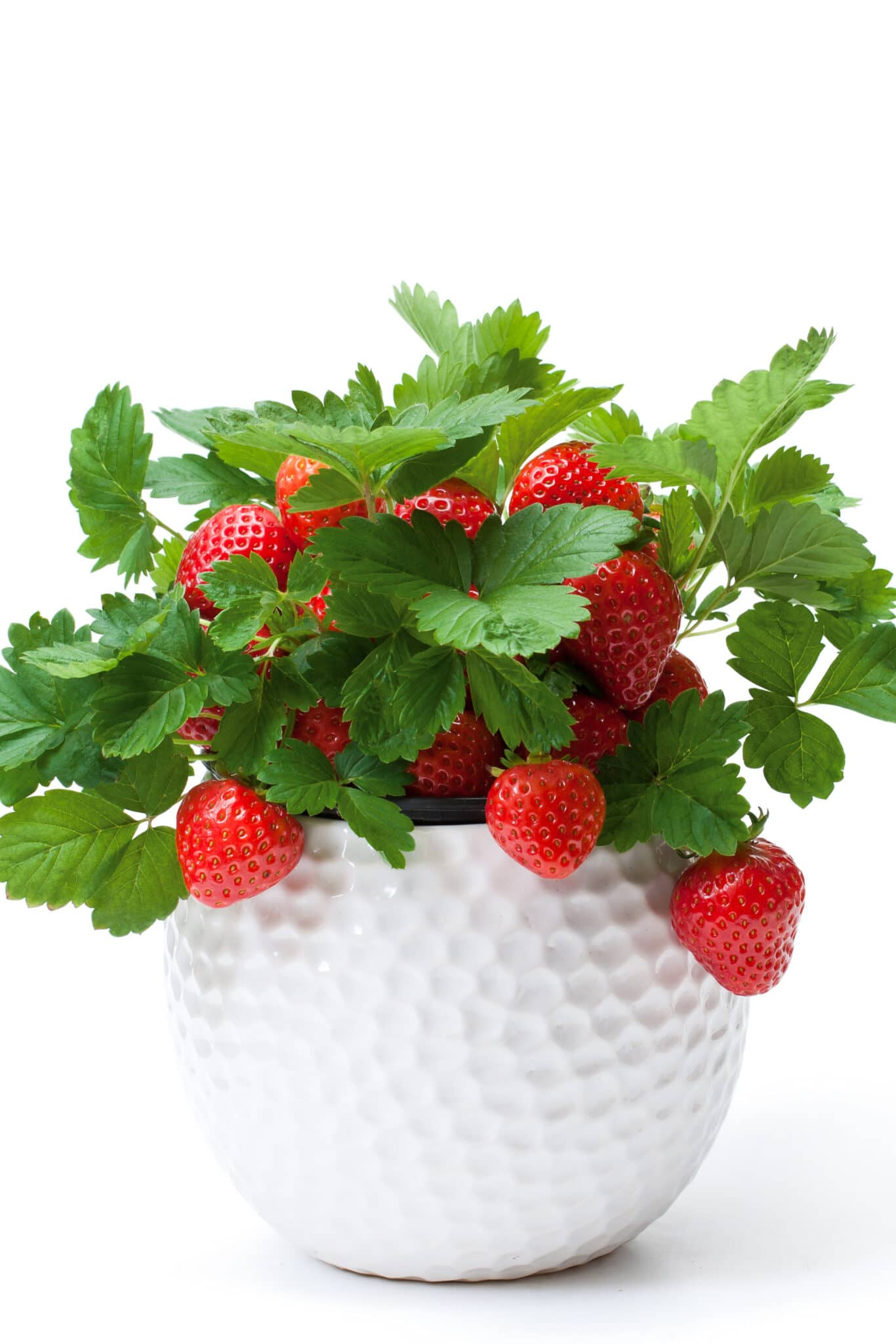 White dimpled ceramic planter with healthy strawberry plants with bright red ripe strawberries filling the pot.