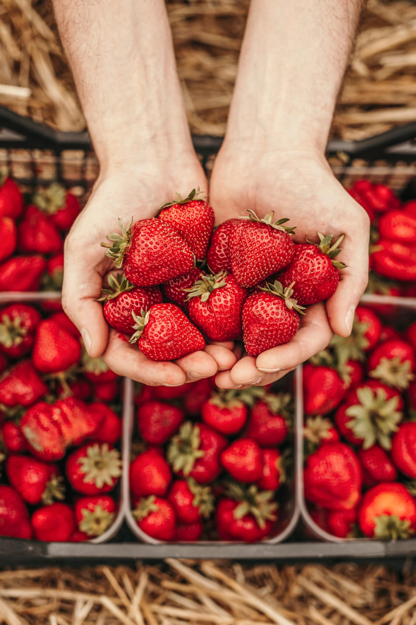 Two hands cupped together holding freshly picked bright red strawberries.  Below, on the ground, baskets are filled to the brim with recently picked berries.