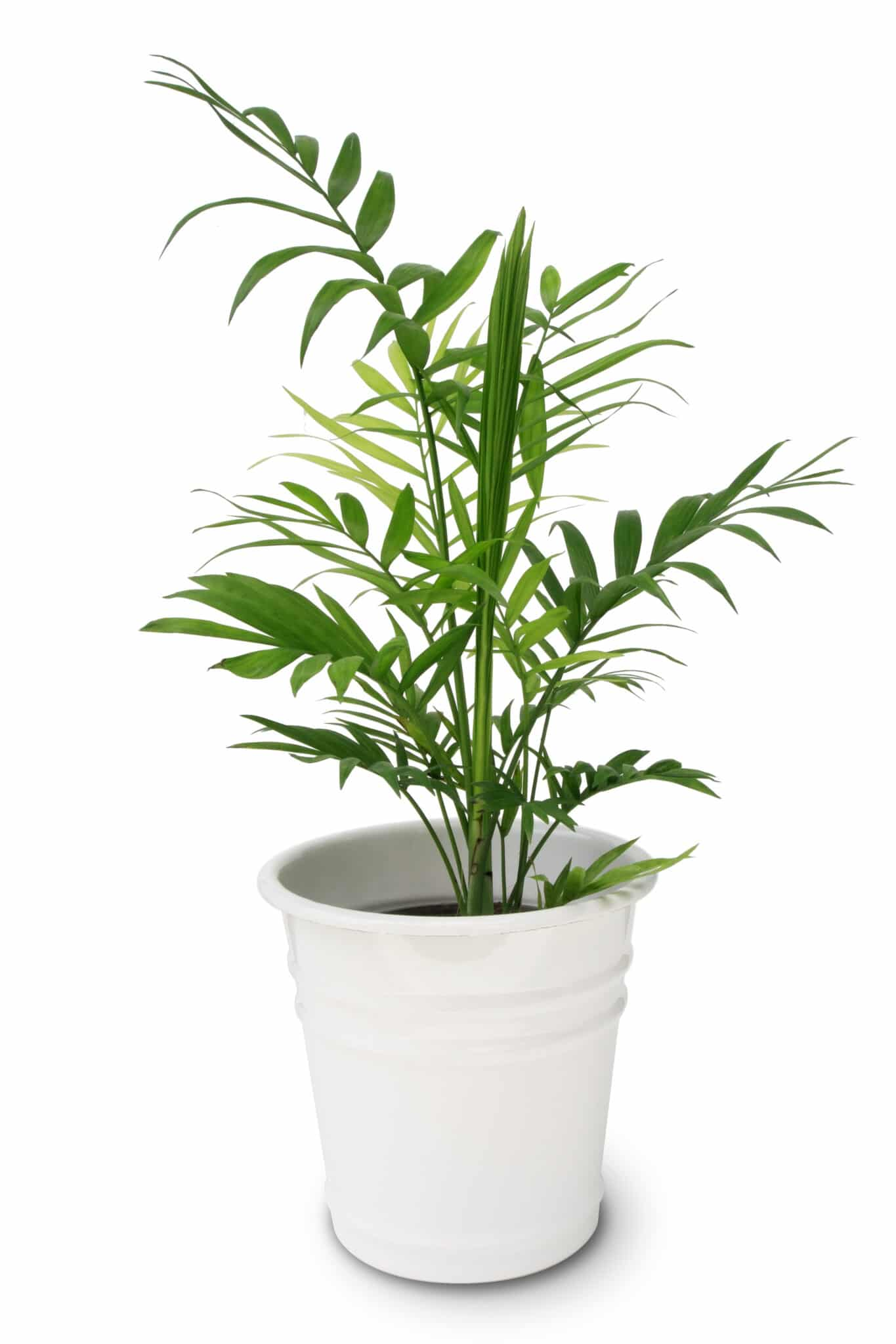 Bamboo palm in a pot.