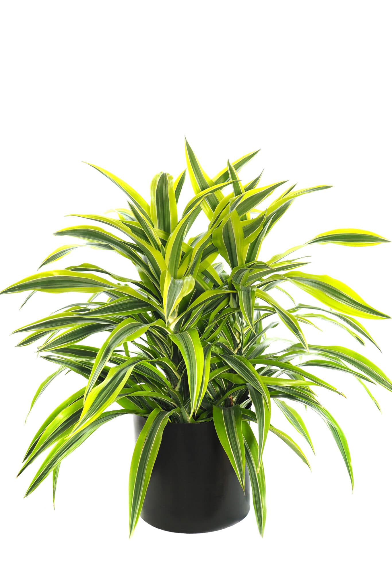 A dracaena in a pot.