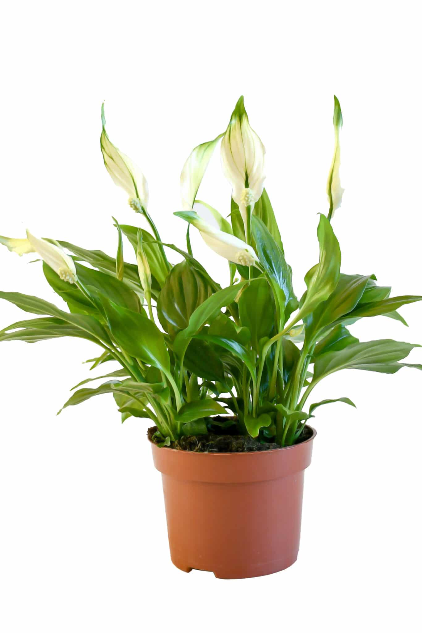 A peace lily in a pot.