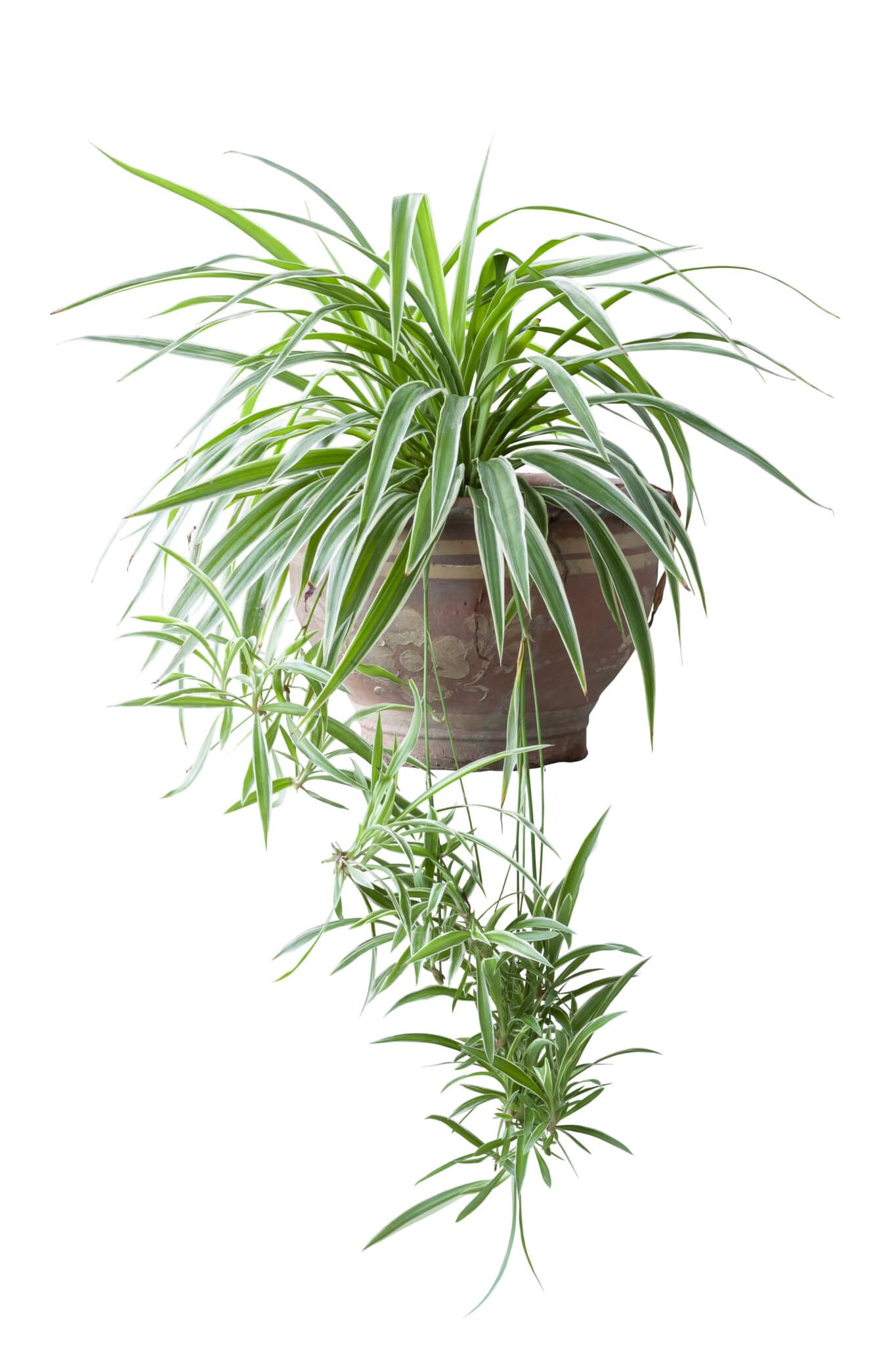 A hanging spider plant.