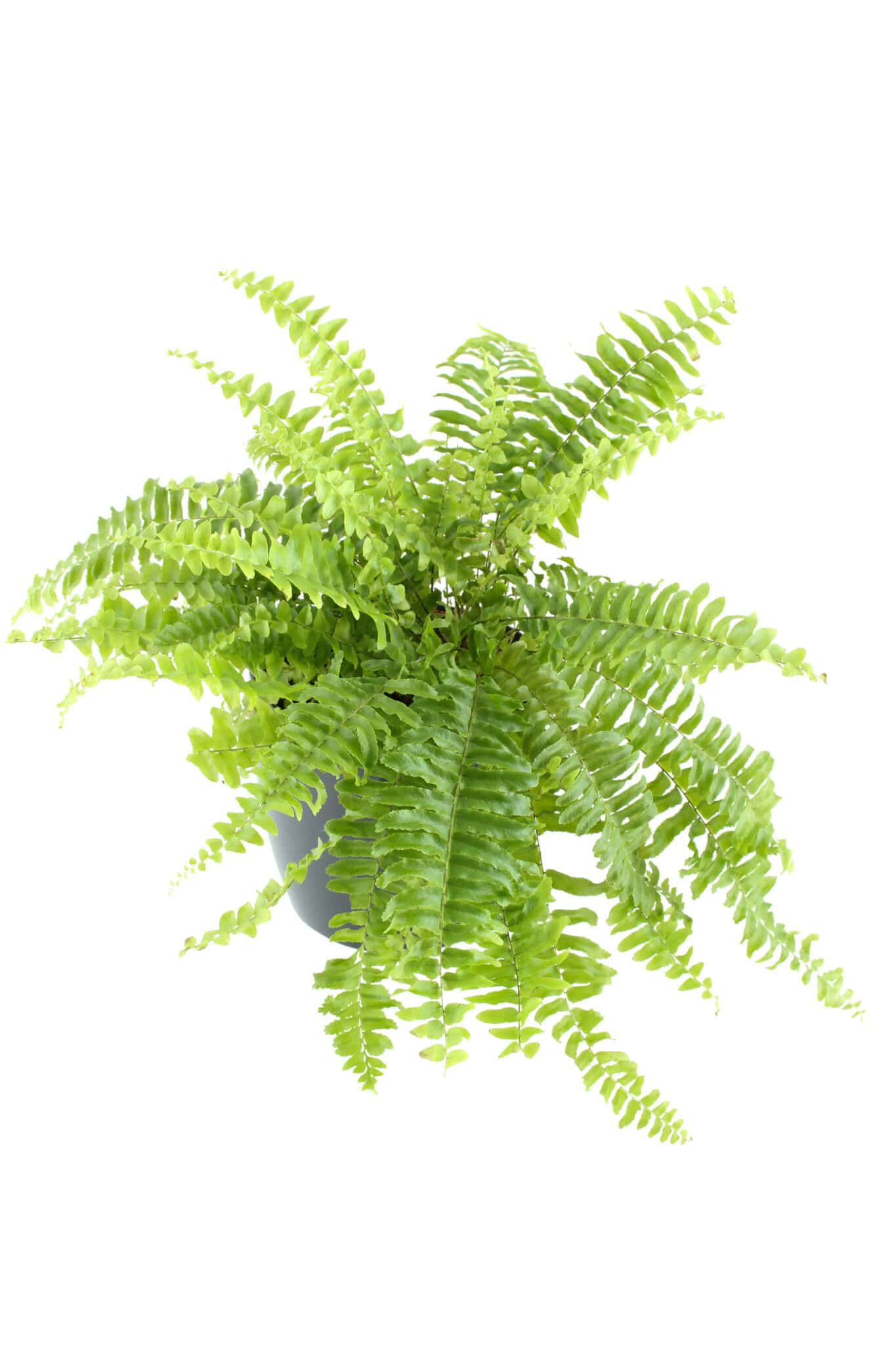 Boston fern in a pot.