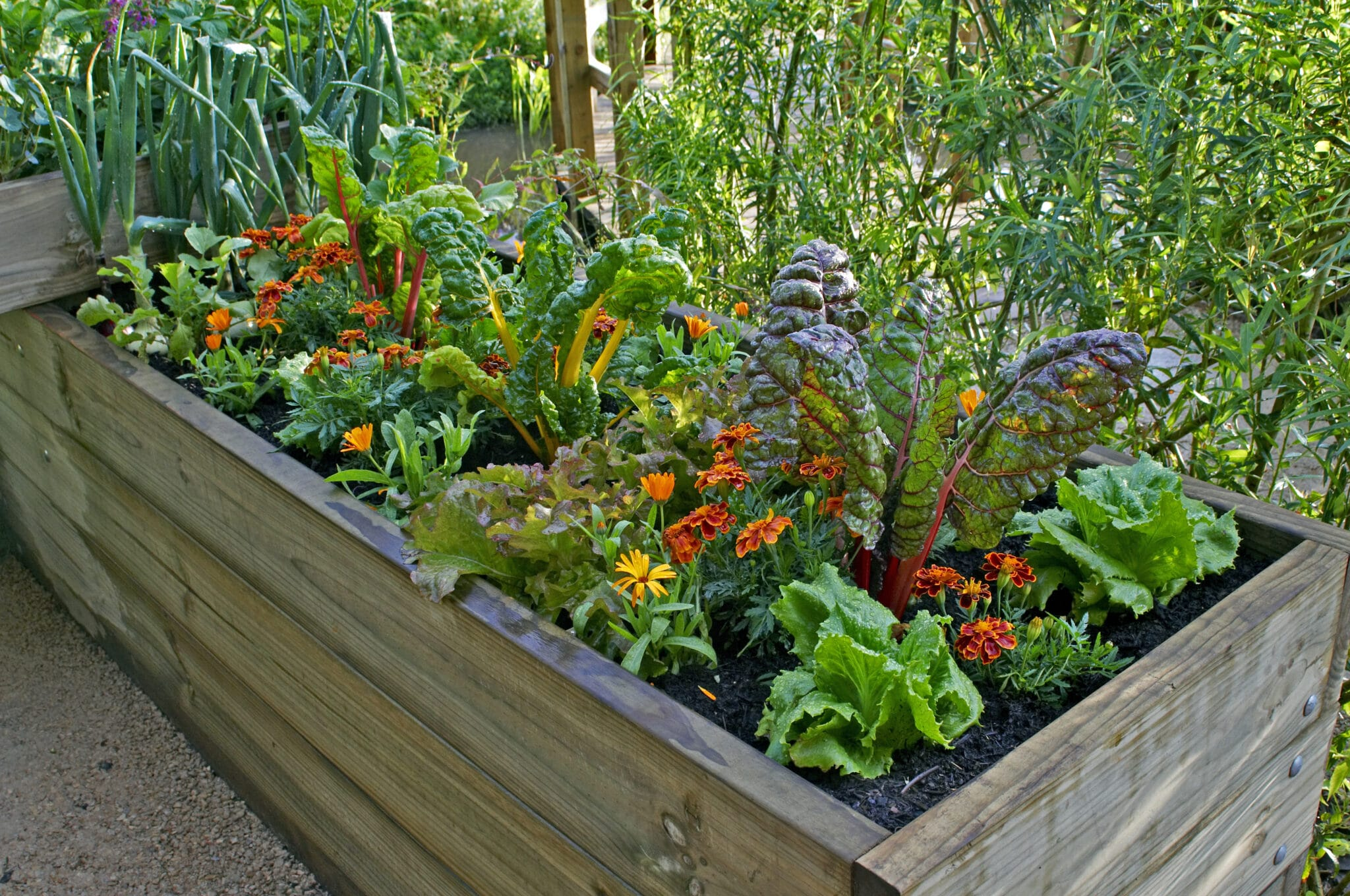 A raised bed full of vegetables growing without weeds.
