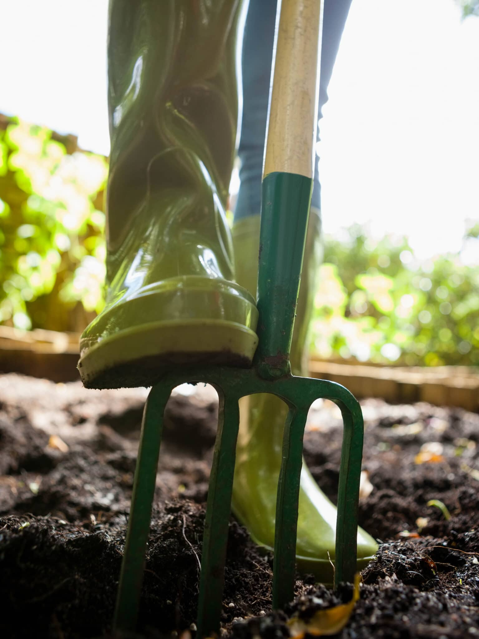 A pitchfork being pushed into the soil by a gardener's foot.