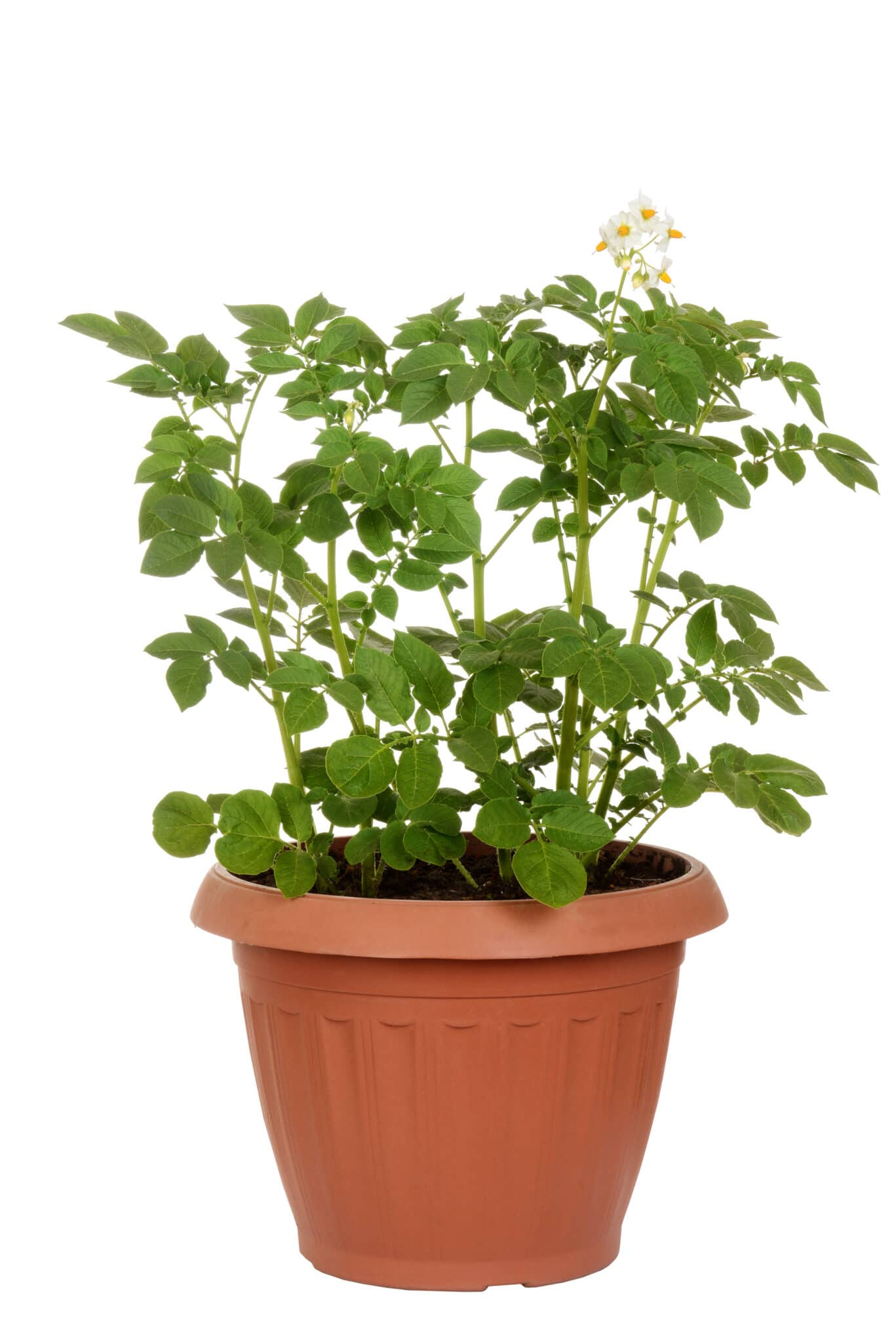 A potato plant growing in a large pot.