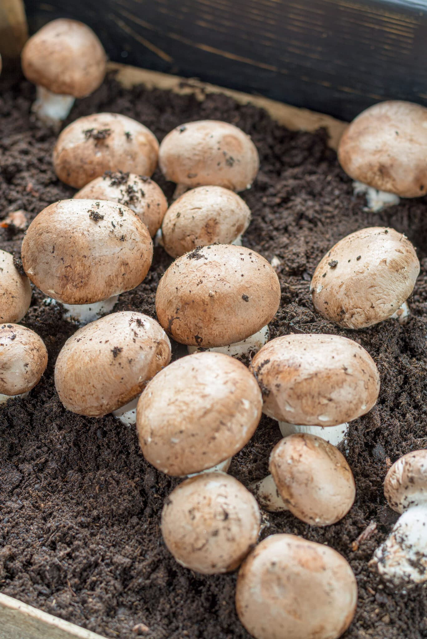 Mushrooms growing in soil in low light, making them ideal vegetables to grow indoors.