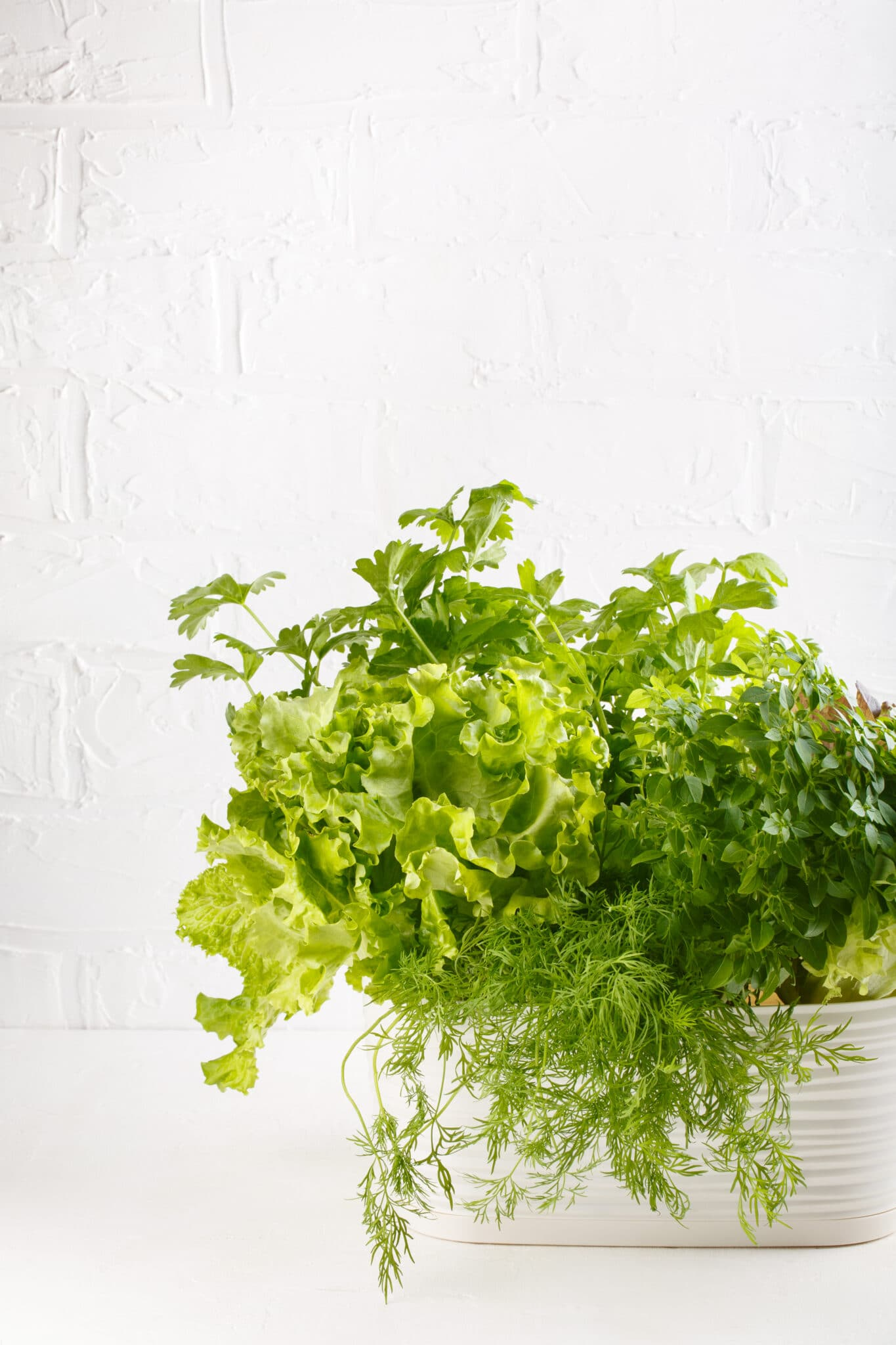 Fresh aromatic culinary herbs in pot on white background. Lettuce, dill, leaf celery and small leaved basil.
