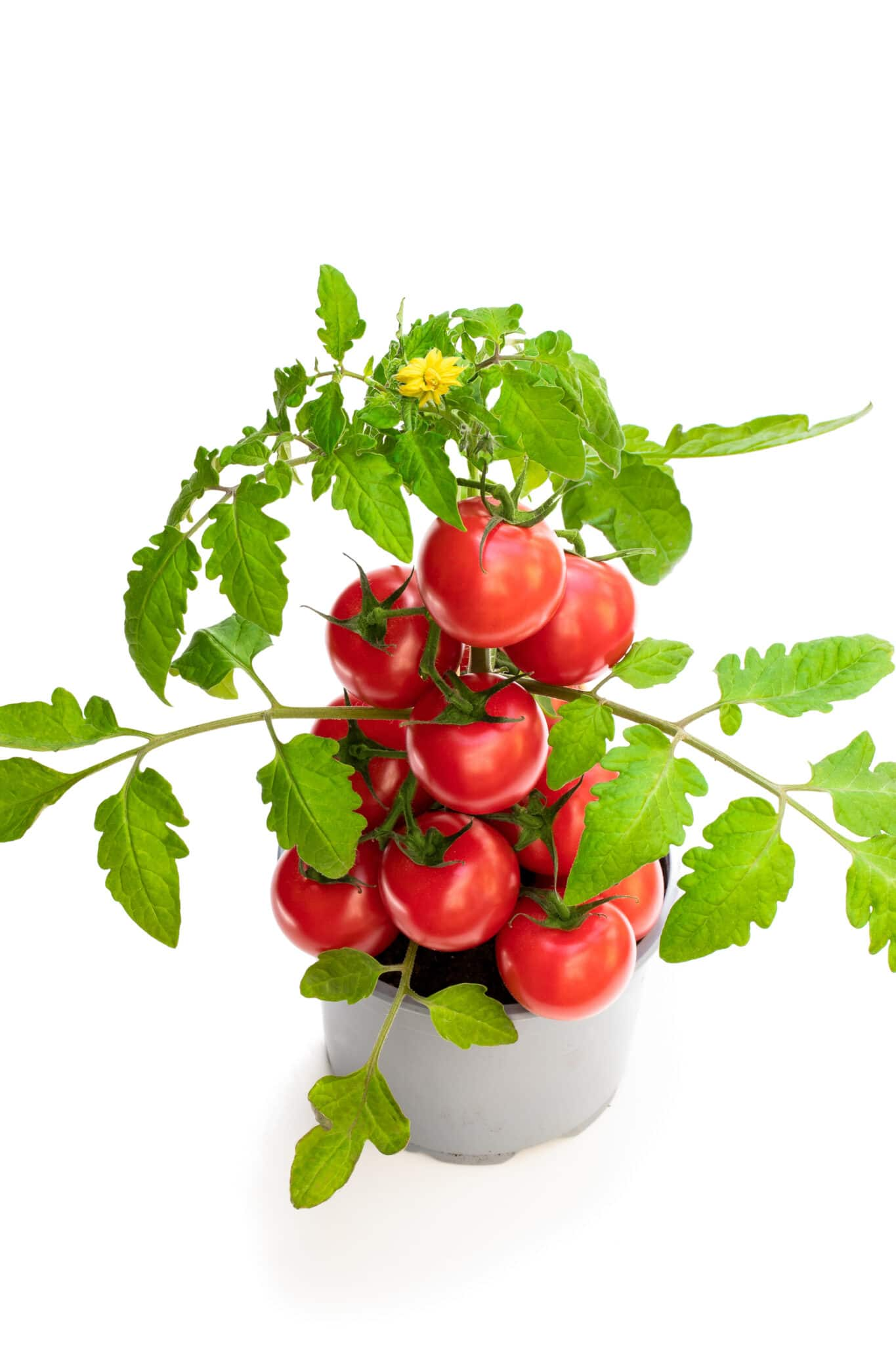 A fully laden tomato plant growing in a small pot, showing why tomatoes are one of the best vegetables to grow indoors.
