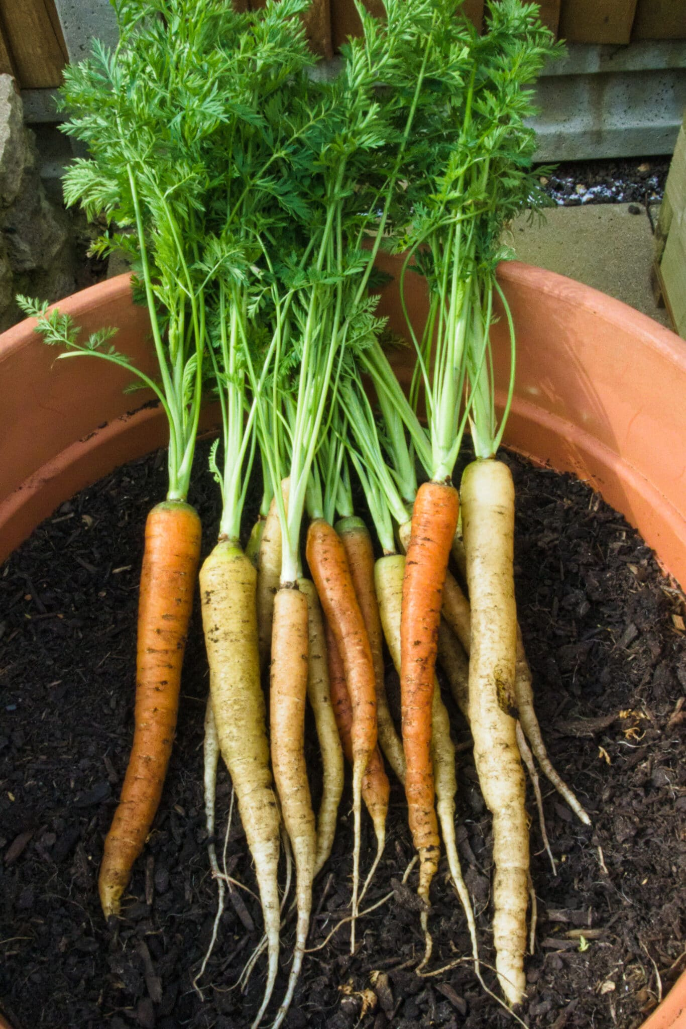 Freshly harvested carrots in the terracotta pot the were grown in.