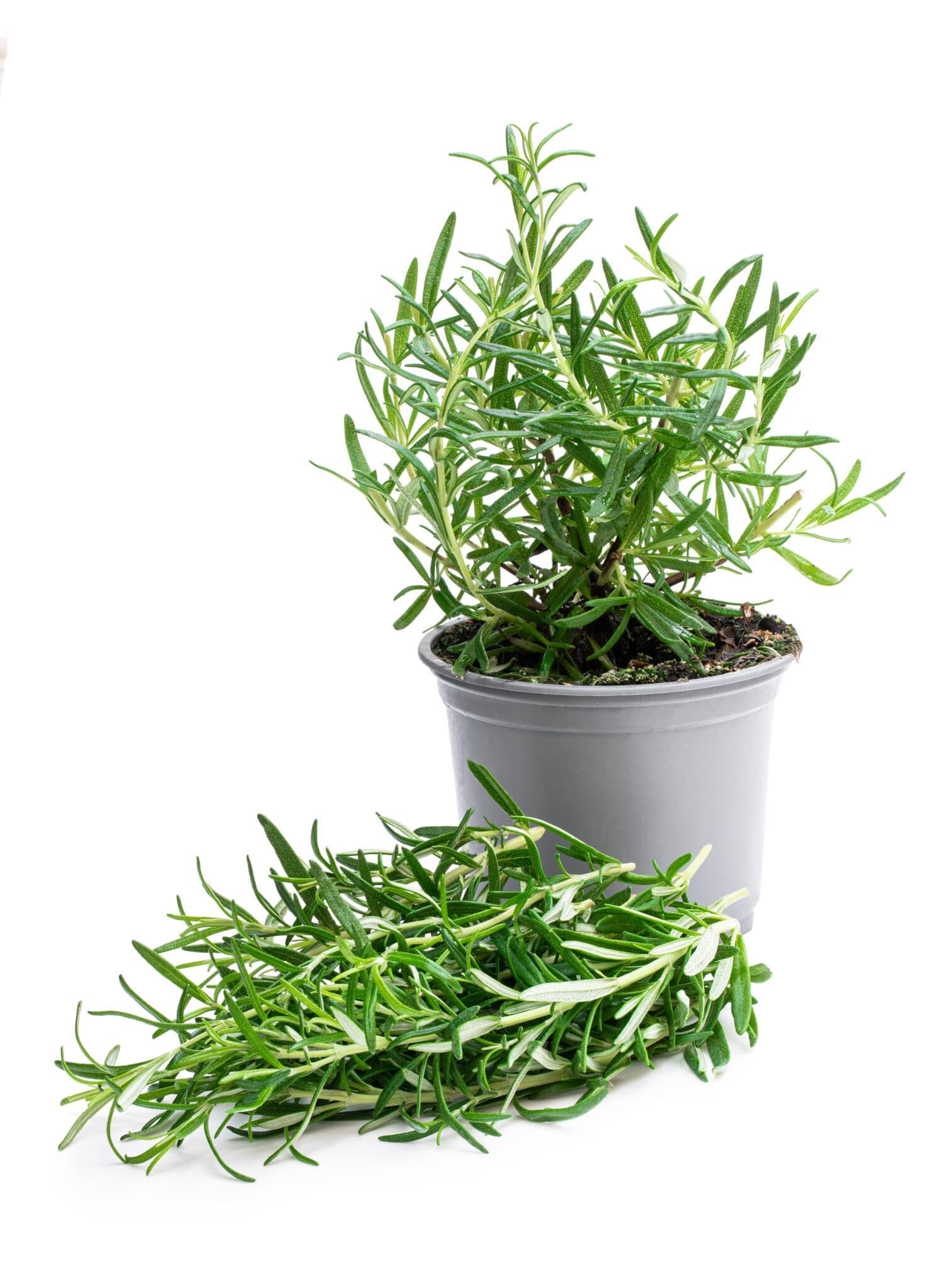 Bunch  of fresh rosemary and plant in pot isolated on white