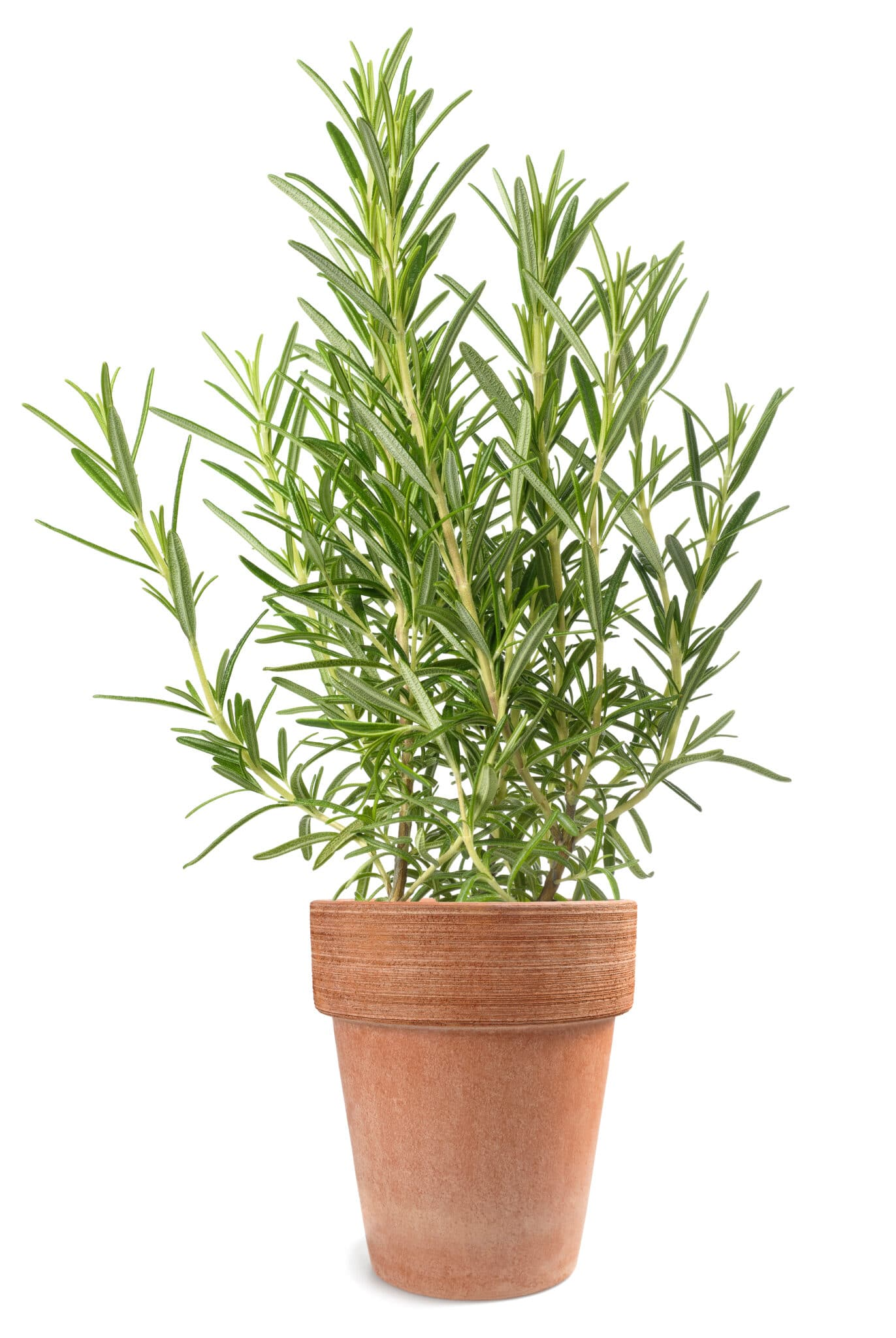 rosemary plant in vase isolated on white background