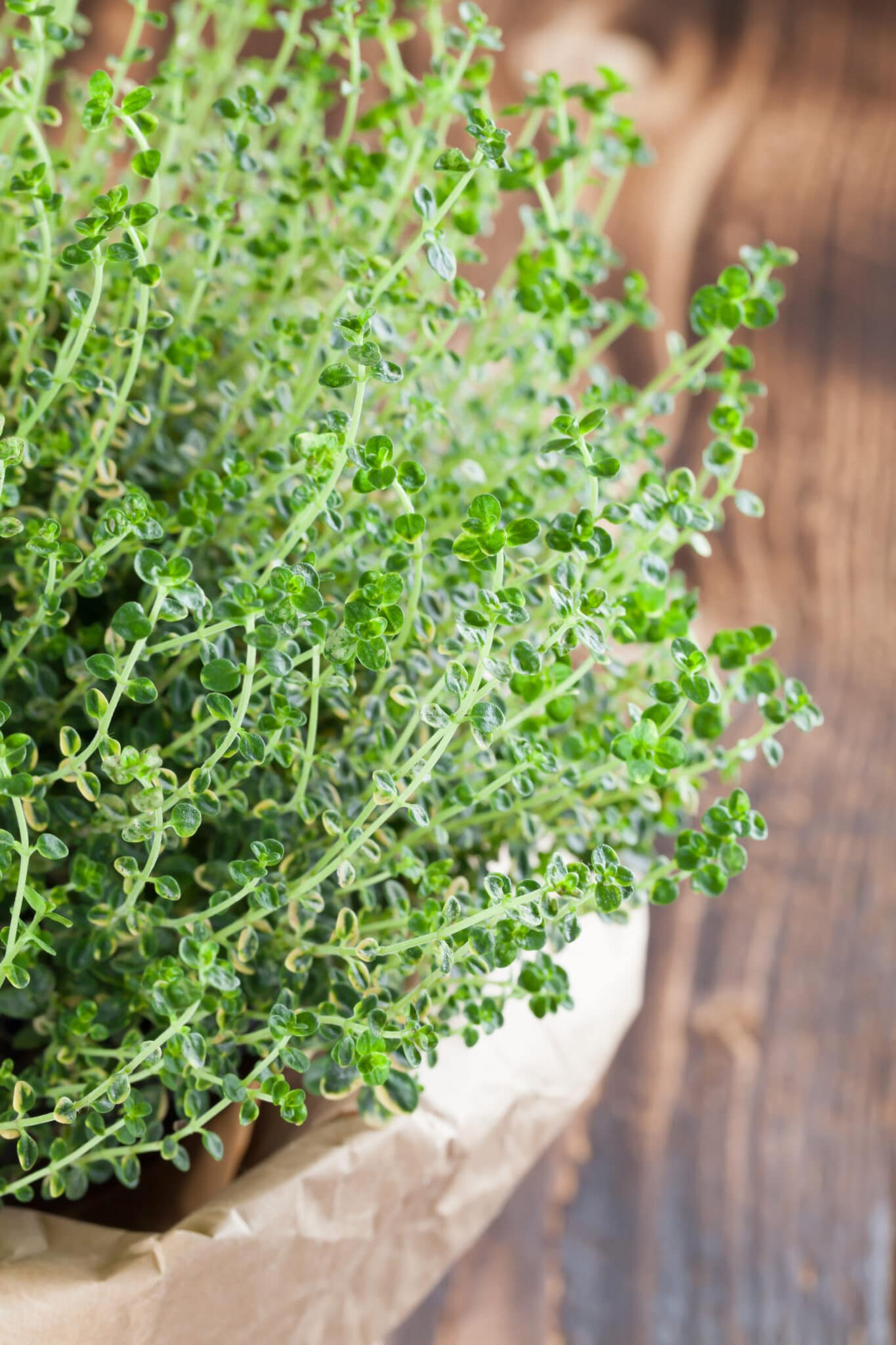 Lush and healthy lemon thyme plant in a pot wrapped in a crinkled paper bag.