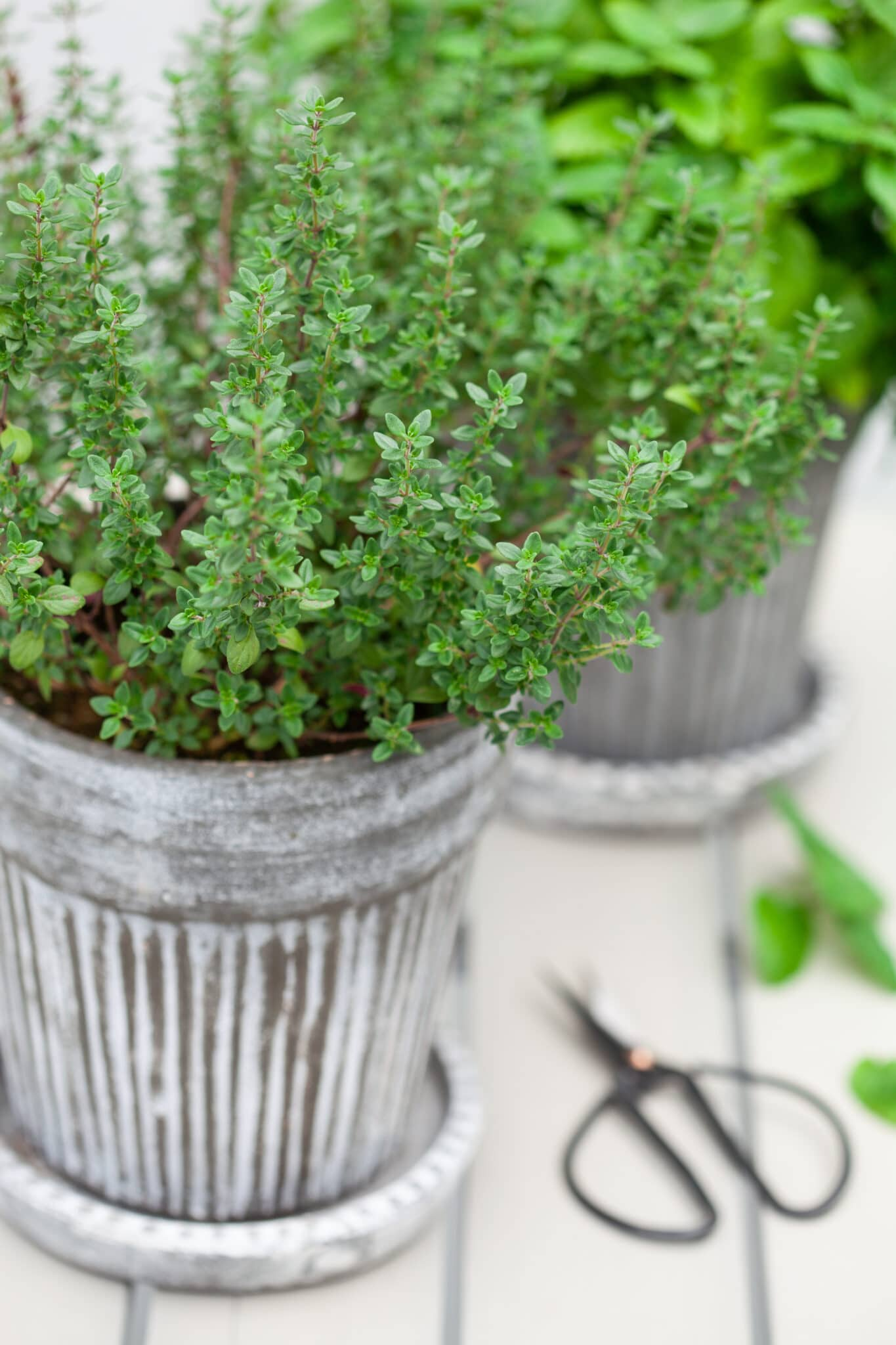 lemon balm  and thyme herb in flowerpot on a rustic white wooden tabletop.