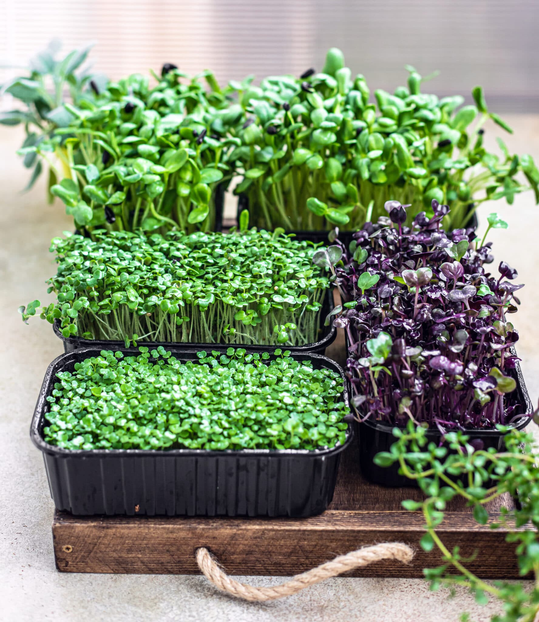 A tray full of freshly sprouted vegetables to grow indoors.