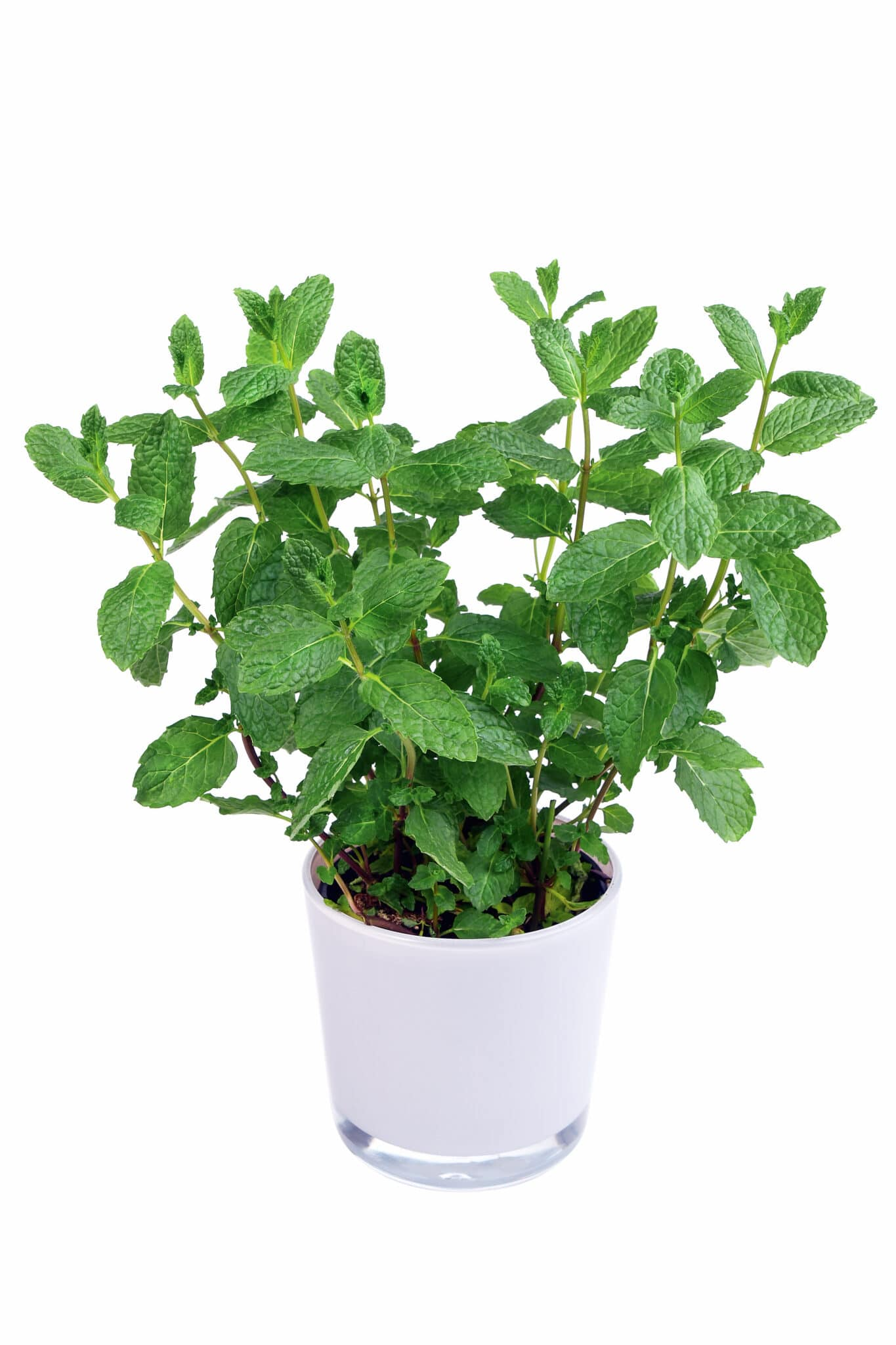 A healthy dark green mint plant growing in a white glass pot.