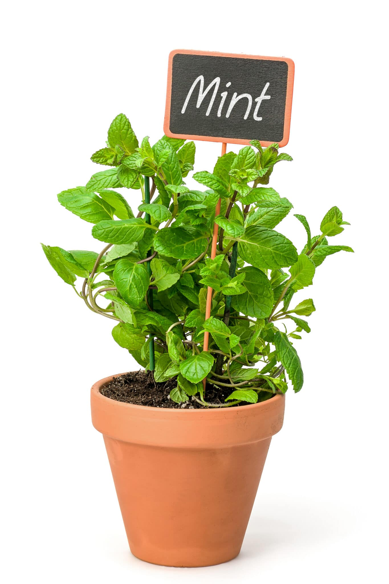 A terracotta pot filled with a bright green healthy mint plant. A chalkboard plant label is sticking out of the top of the plant with the word mint written in chalk.