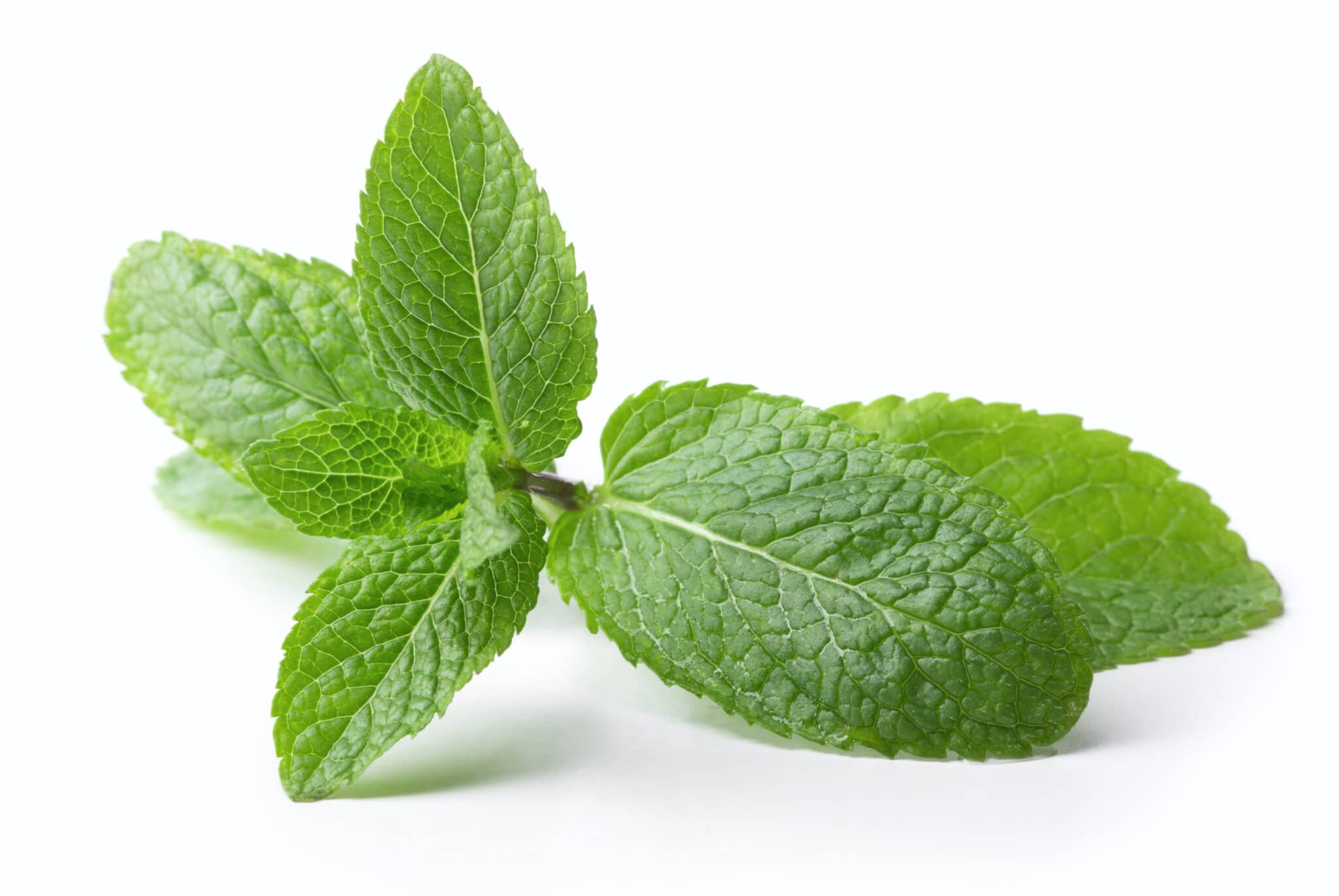 Sprig of healthy bright green mint against a bright whit background.