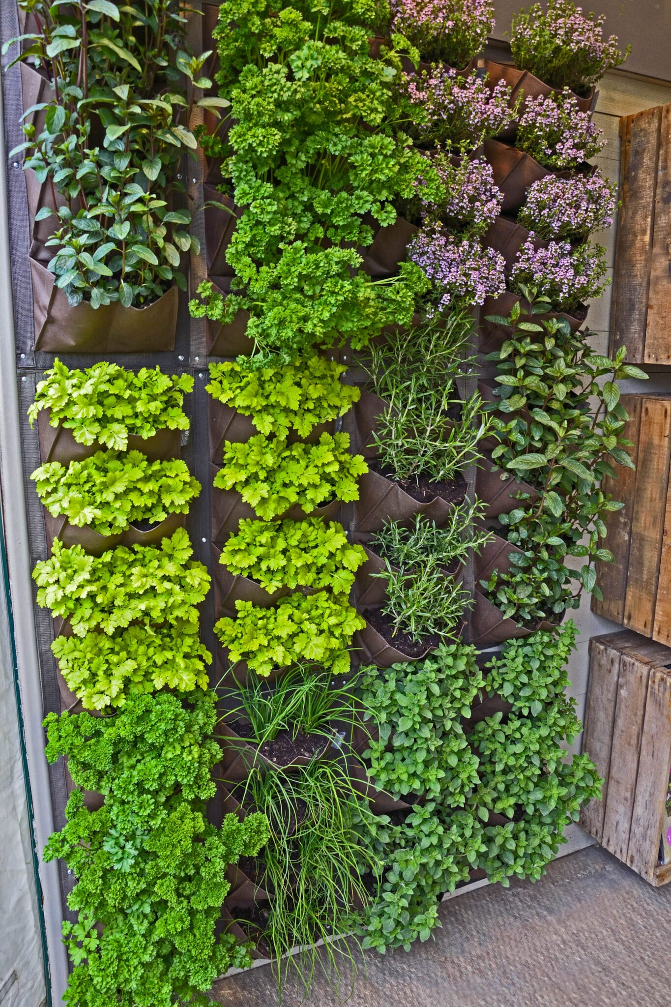 Assorted herbs and flowers growing in canvas sacks on a wall mounted rack as a vertical garden.