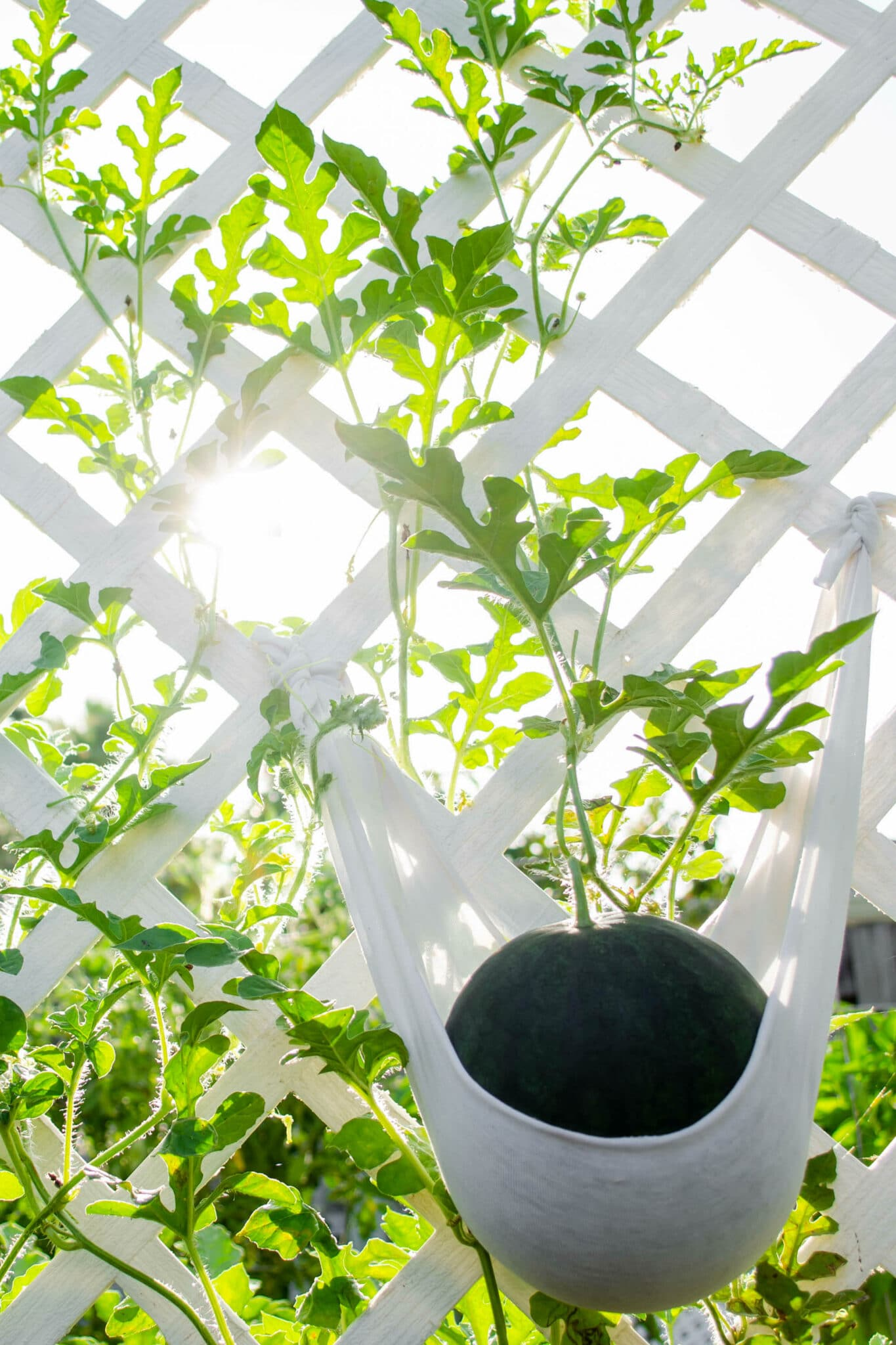 A melon growing on a vine on a trellis, supported by a piece of cloth. This shows how a trellis is a great garden idea for small spaces.