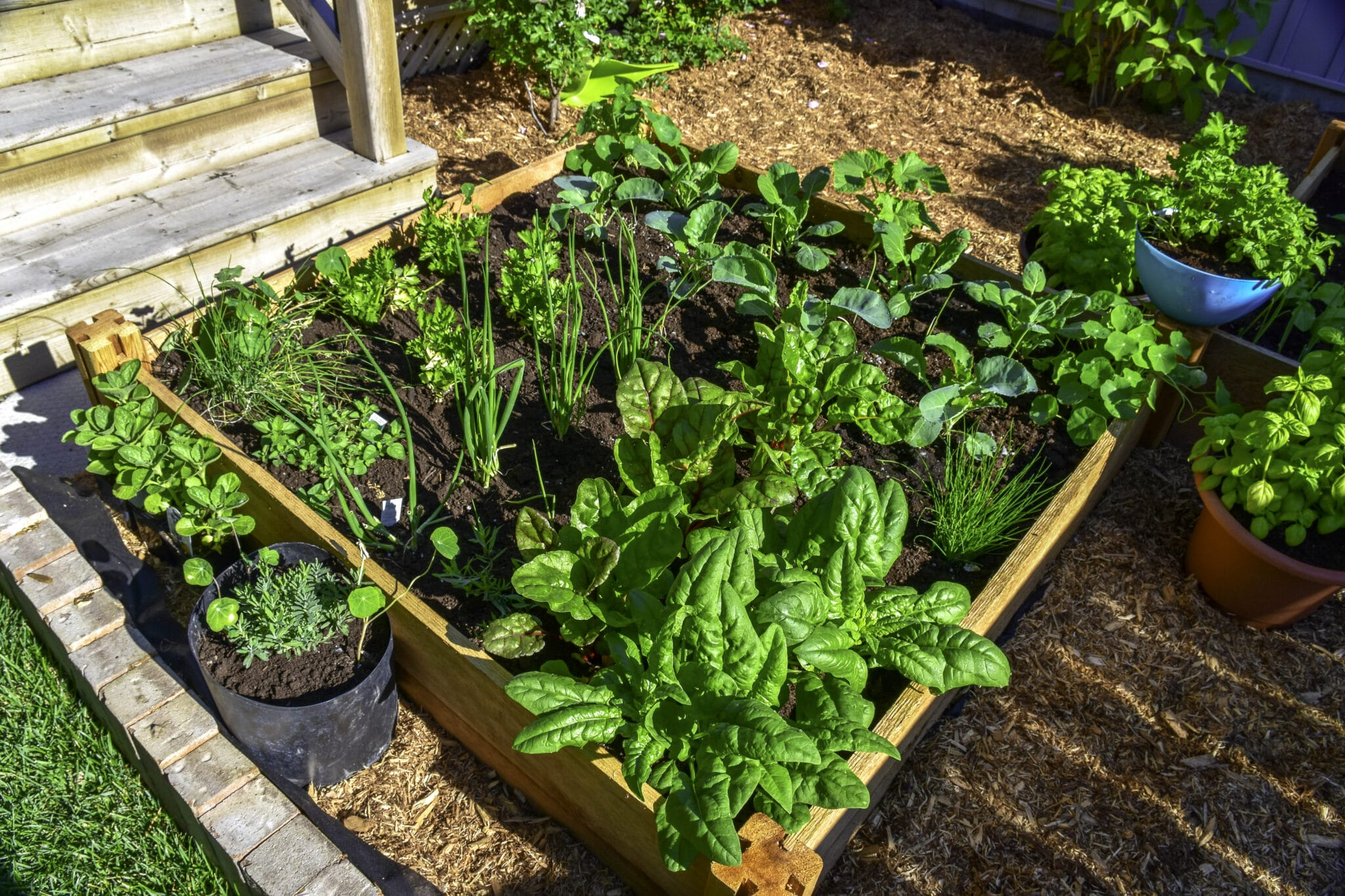 A 4 by 4 foot raised garden bed, with the plants growing close together to maximize space in the small garden.