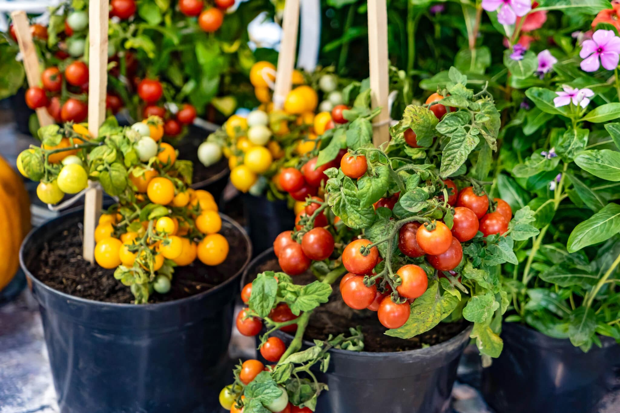 Small cherry tomato plants growing in pots in the garden. The plants are laden with ripe tomatoes.
