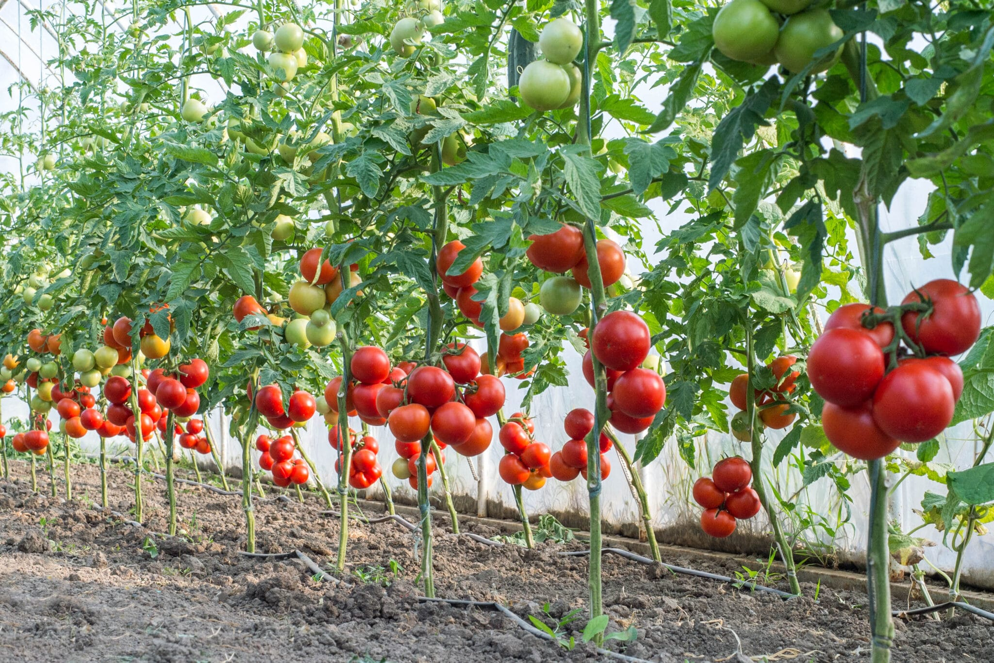 Tomato plants trimmed and trained to grow as single-leaders, with the main stalk twisting up a single string, and all other branches trimmed away. The plants have large clusters of ripe tomatoes, and very few leaves.