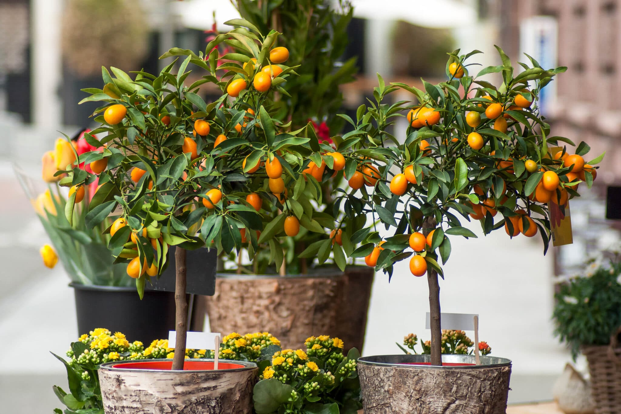 Two small orange trees growing in pots.