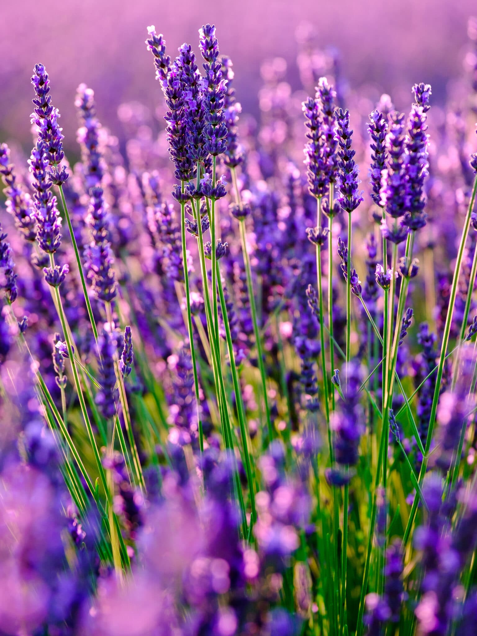 Lavender growing in a field. Lavender is a great early-starter for spring gardening.