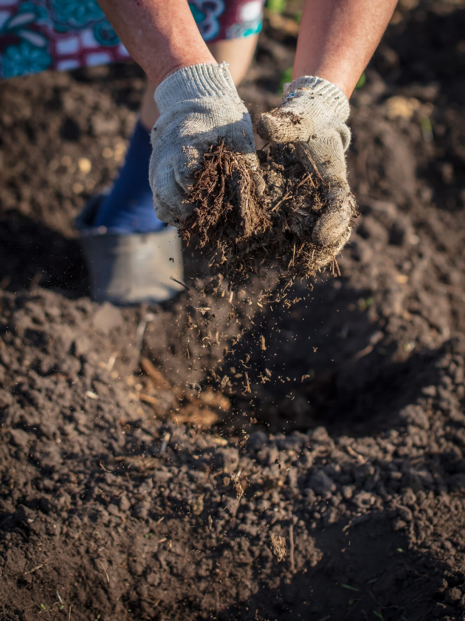 A gardener spreading manure by hand.